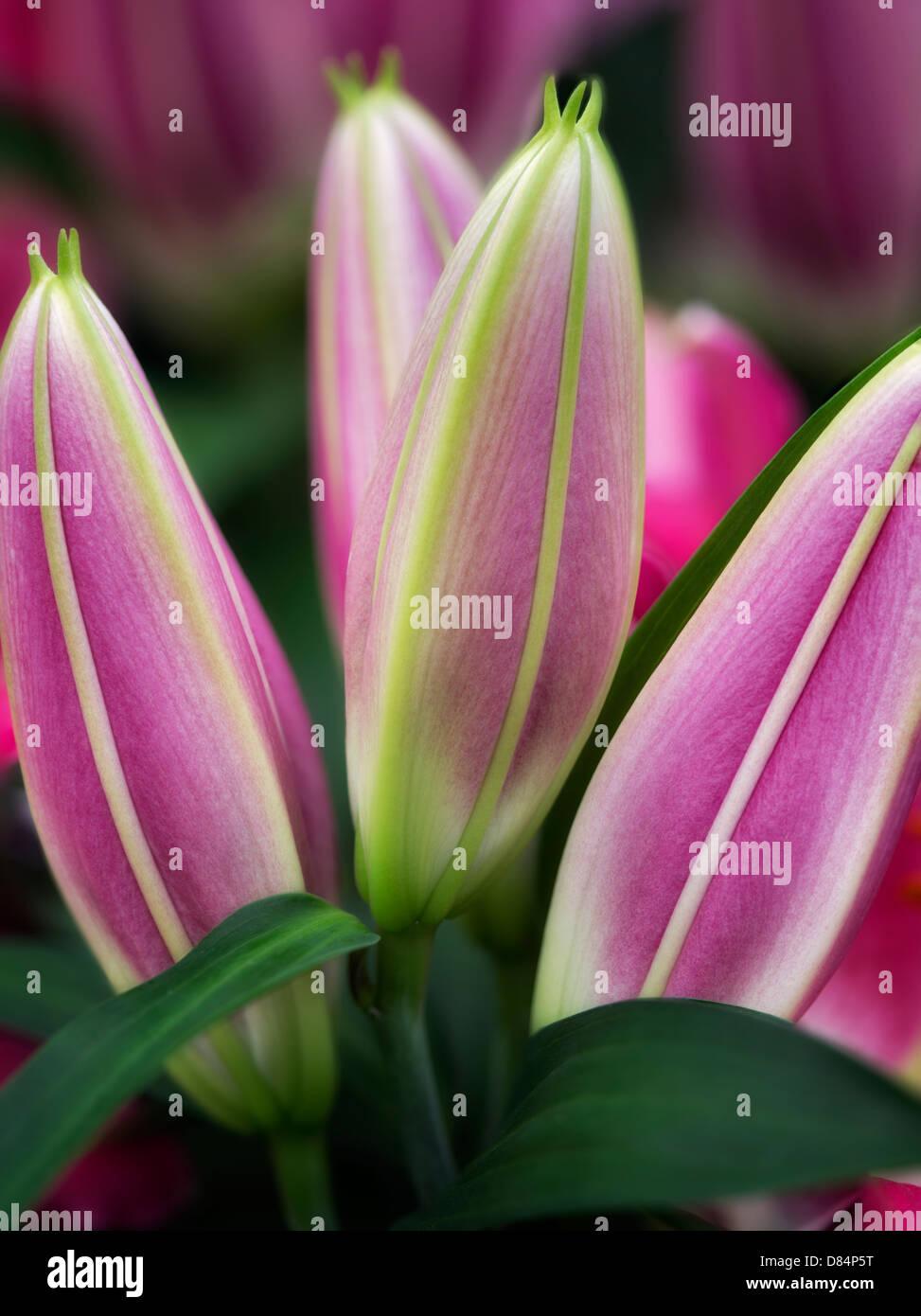 Close up Oriental Lily boccioli. Immagini Stock