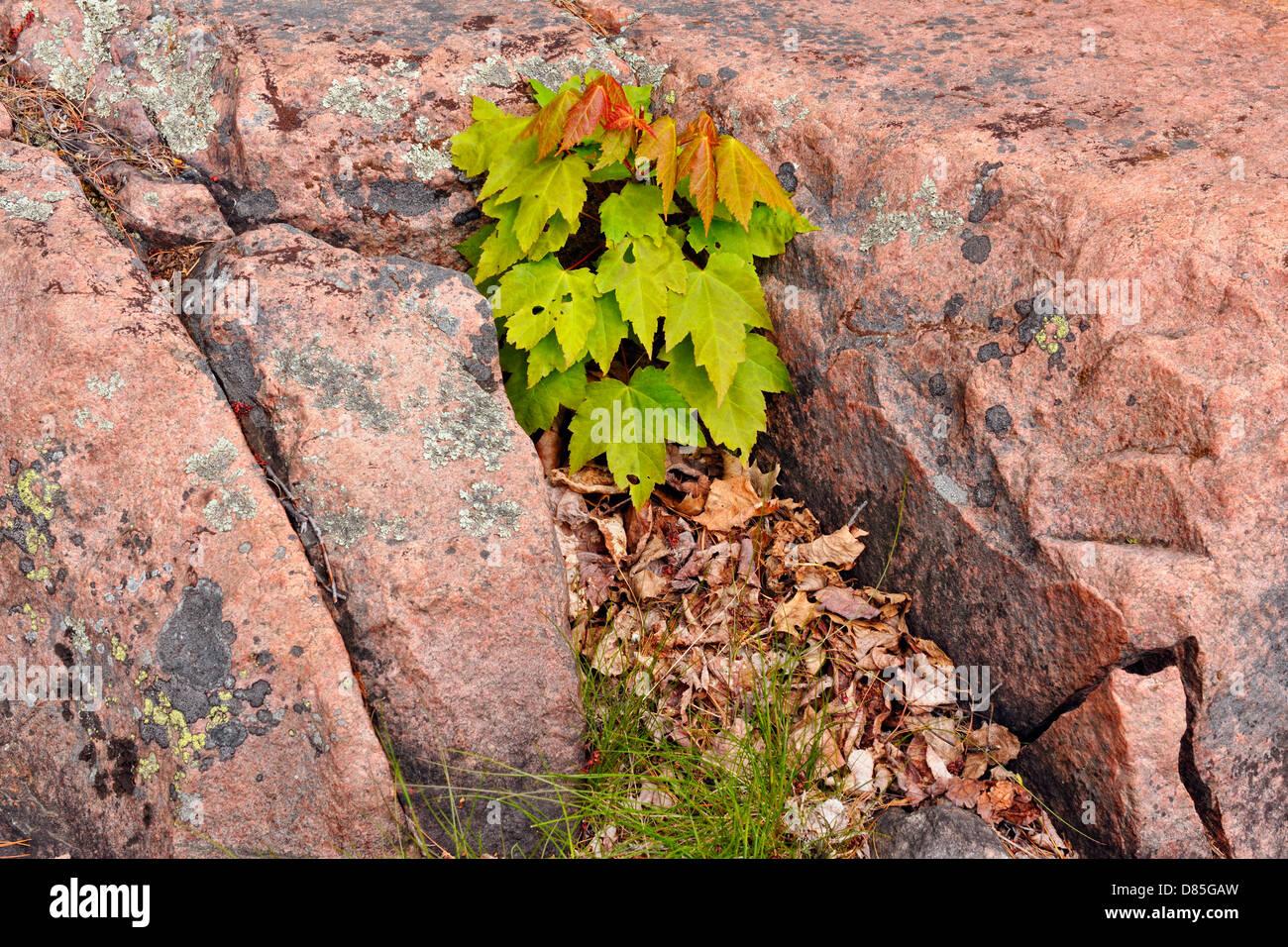 Vivaio Acero Rosso : Acero rosso acer rubrum piantina in scudo canadese affioramenti