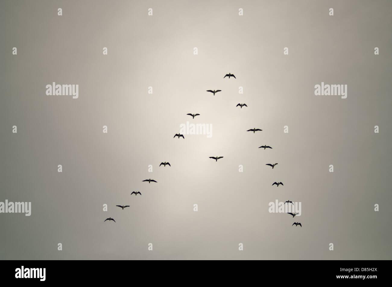 Gli uccelli in formazione a freccia con un uccello fuori linea concettuale Immagini Stock