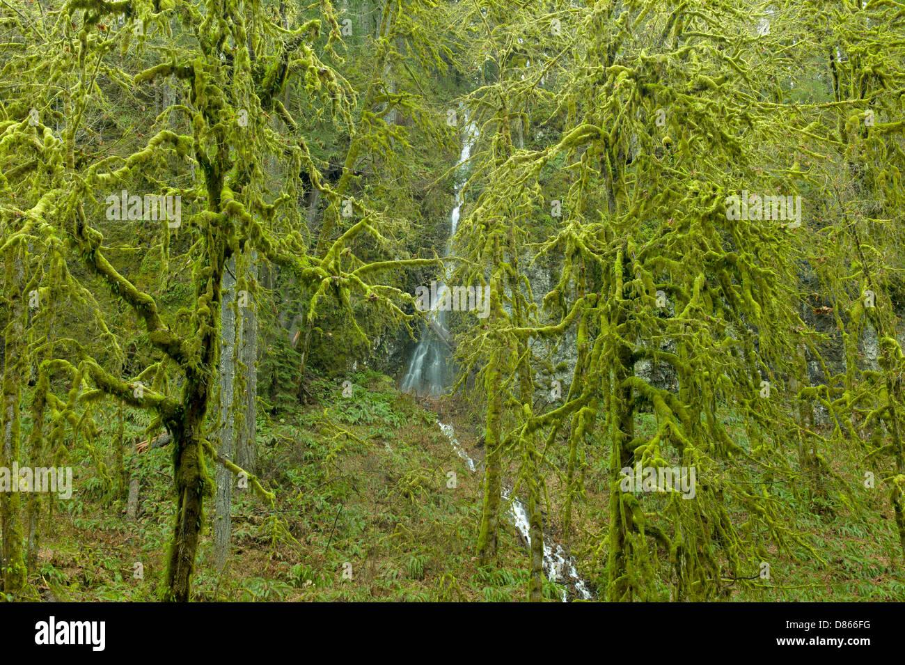 Moss coperto foglie grandi alberi di acero e waterfal stagionali. Silver Falls State Park, Oregon Immagini Stock