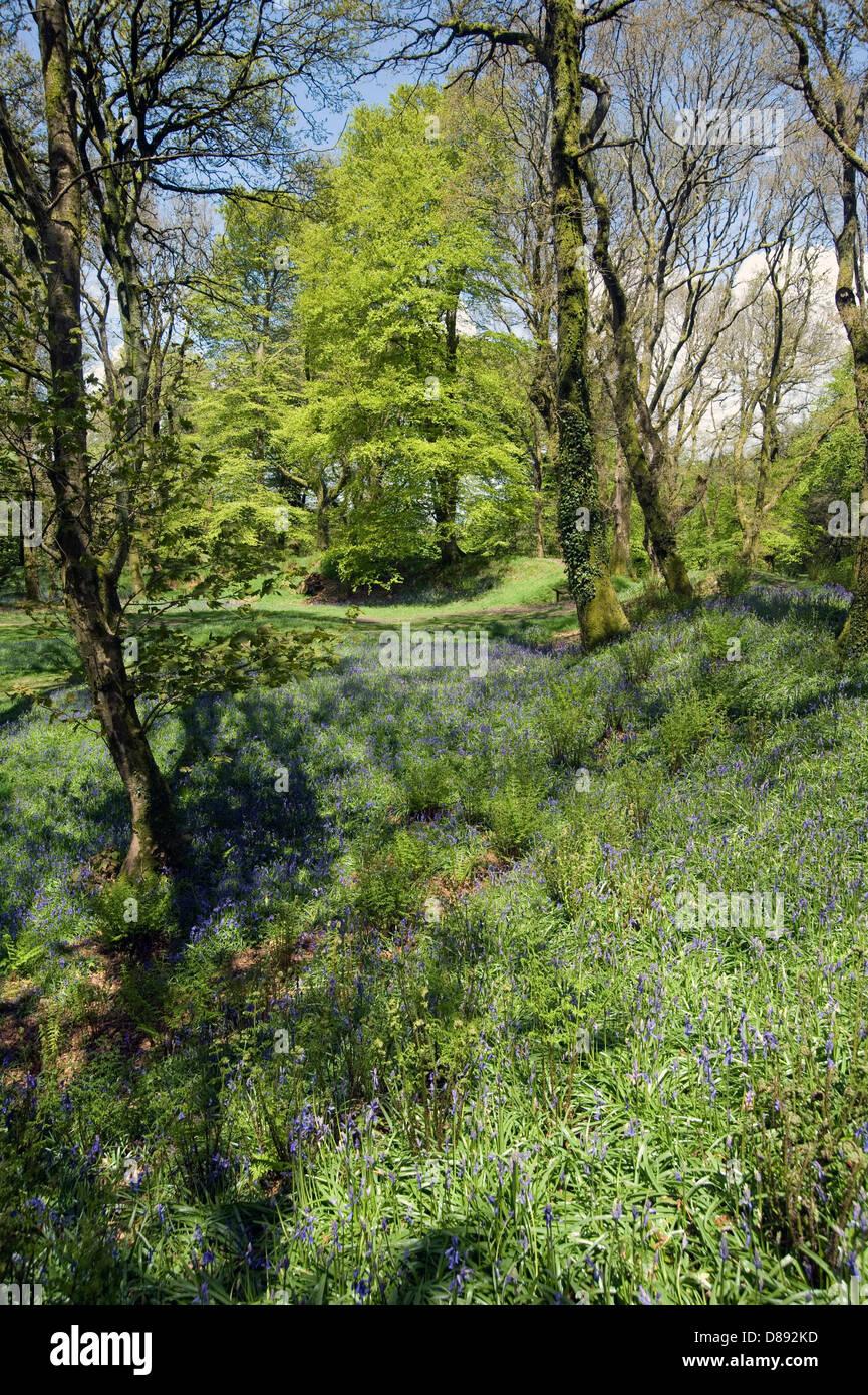 Bluebells fioritura a Blackbury Camp, il Devon Ferro-age fort, con boschi di faggi e querce a foglia giovane su Immagini Stock