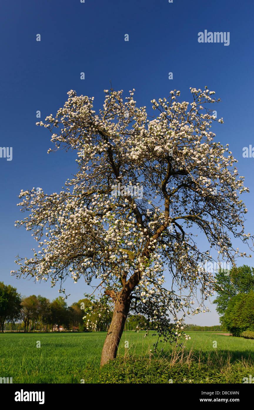 Blooming melo, frutteto, Cloppenburg, Bassa Sassonia, Germania Immagini Stock