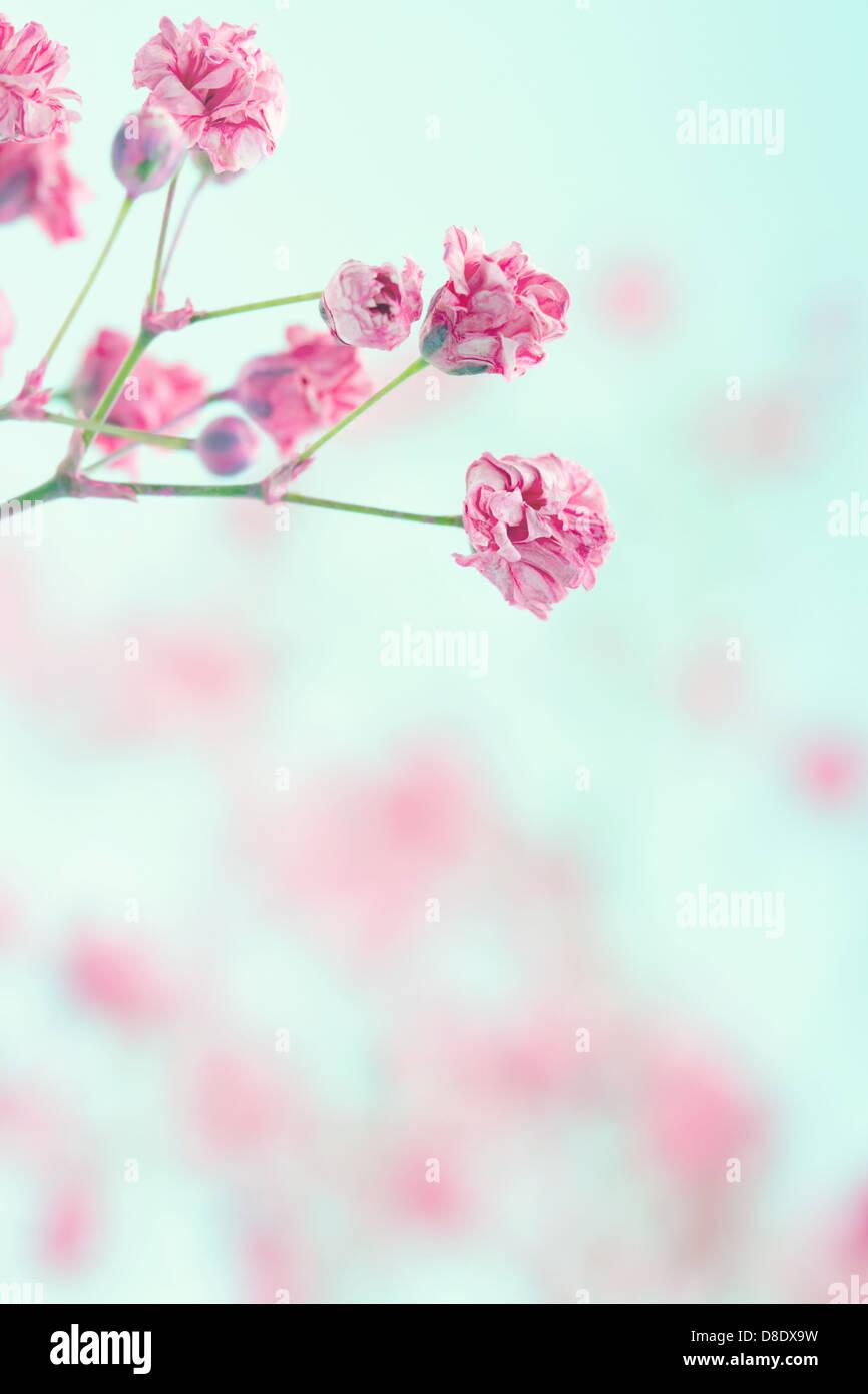 Rosa Del Bambino Fiori Di Respiro Sulla Luce Pastello Blu Shabby