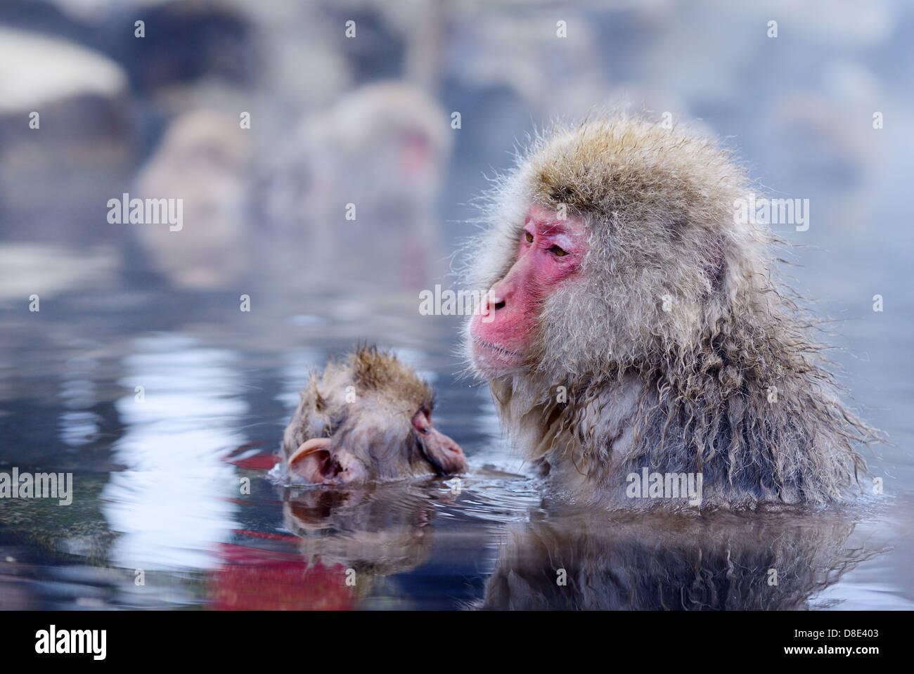 Neve giapponese scimmie (macachi), in Nagano, Giappone. Immagini Stock