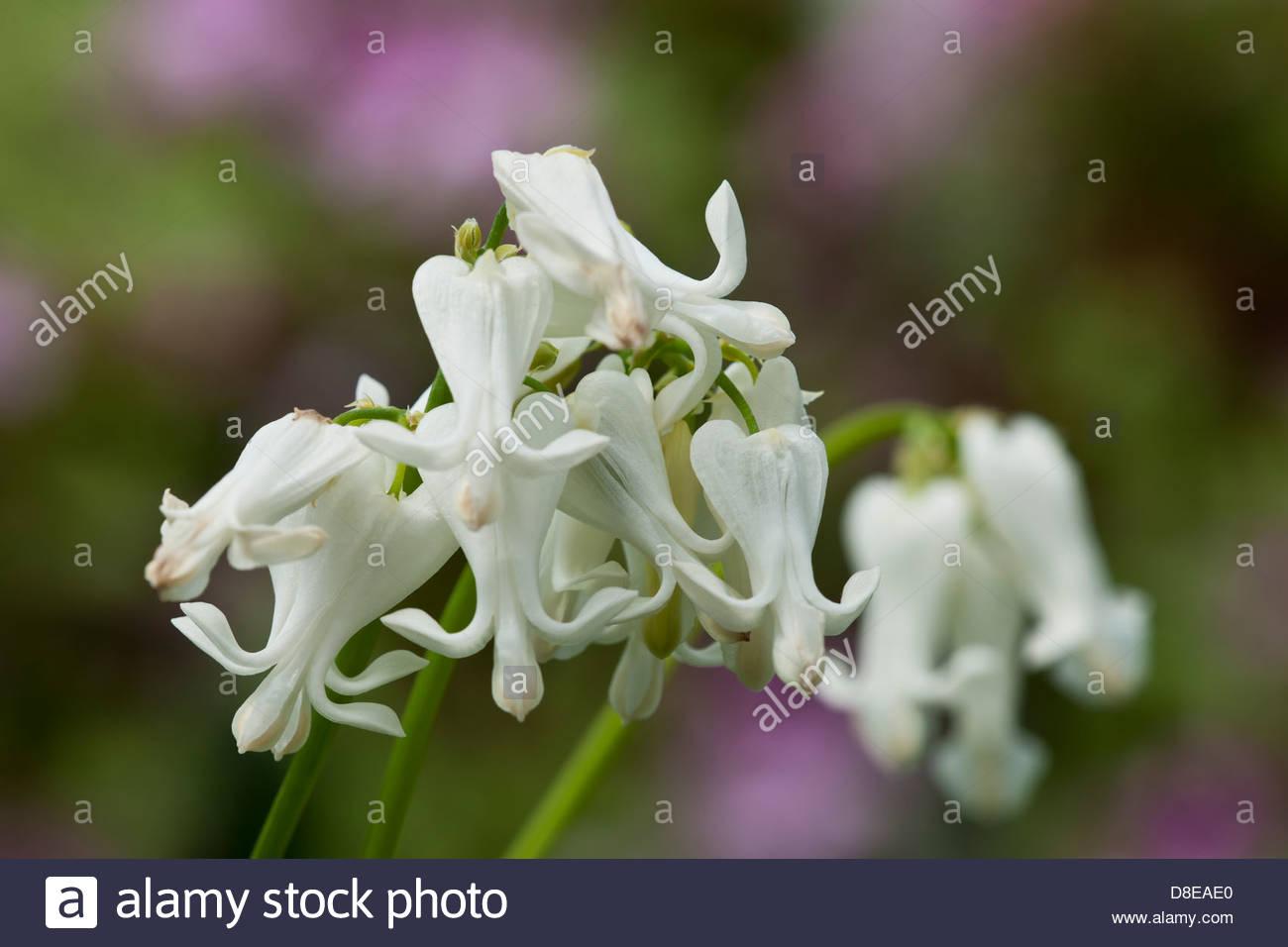 Dicentra cuori avorio Fern-leaf Bleedingheart estate perenne di fiori bianchi foglie blu fogliame può pianta Immagini Stock