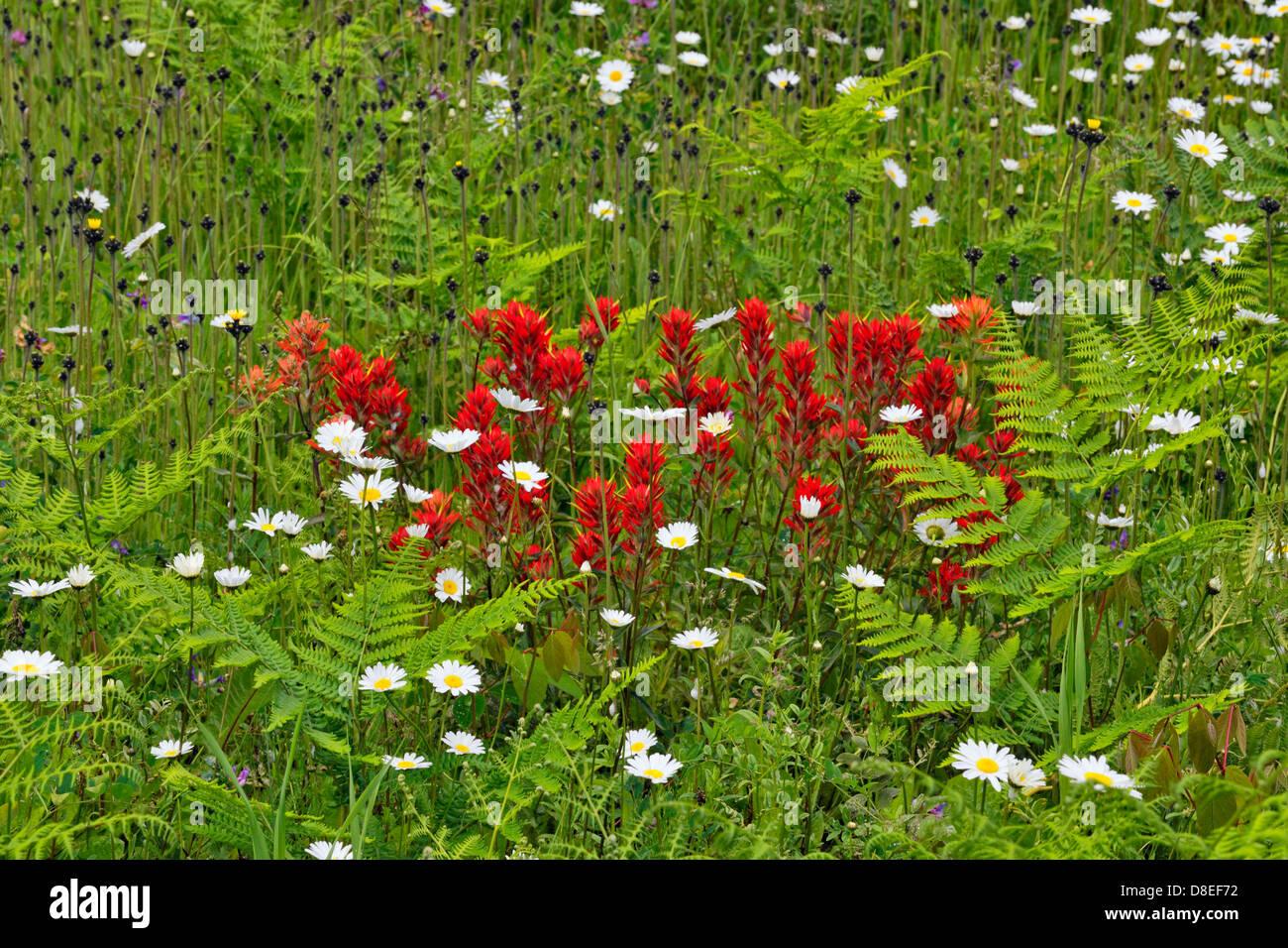 Strada fiori selvaggi- pennello comune e margherite Terrazza della Columbia britannica in Canada Immagini Stock