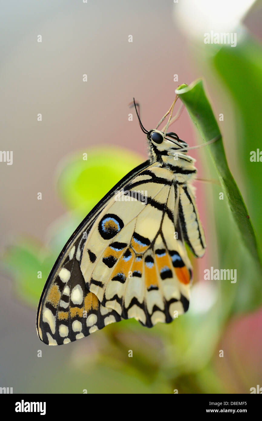 Butterfly calce comune Butterfly (Papilio demoleus) su una foglia Immagini Stock