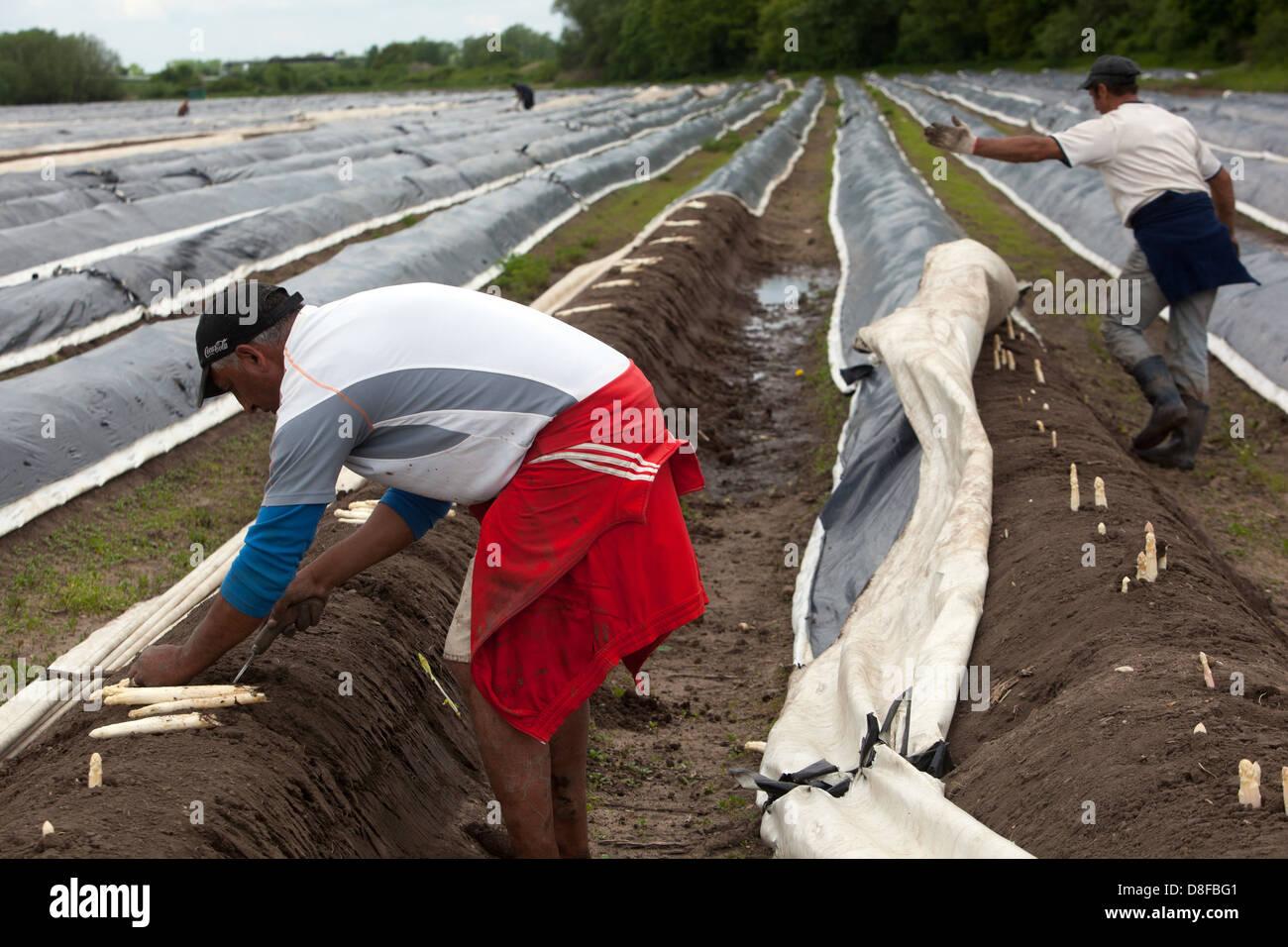 I lavoratori stagionali provenienti dalla Romania e Bulgaria harvestingand picking gli asparagi, i campi nella Boemia Immagini Stock