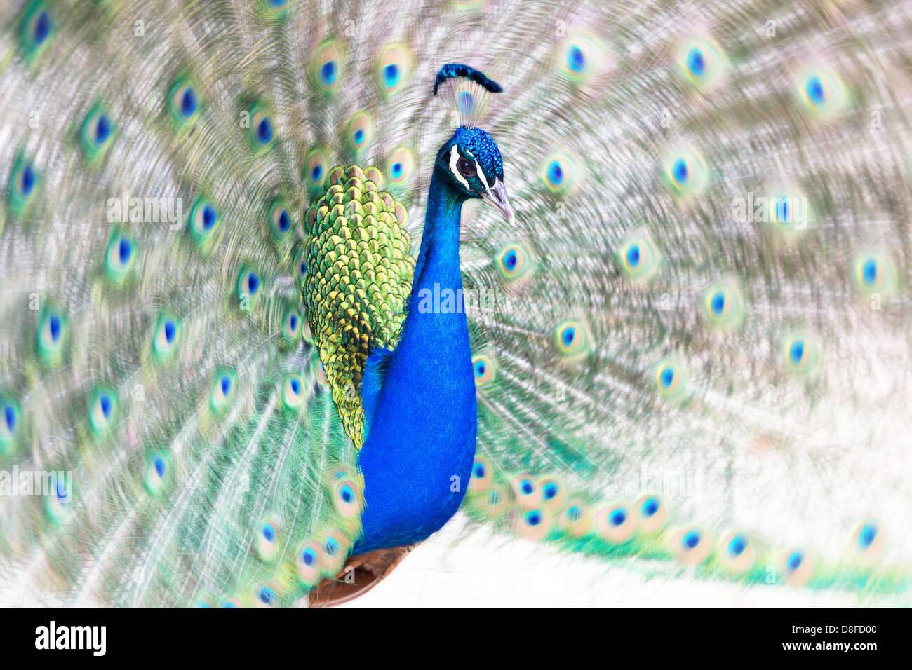 Peacock fanning la sua coda Immagini Stock