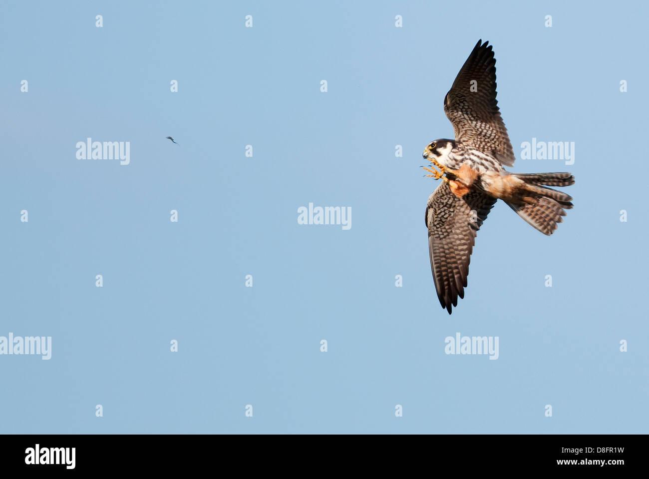 Hobby (Falco Subbuteo®) caccia mayfly sul parafango con uno che sta per essere catturato Immagini Stock