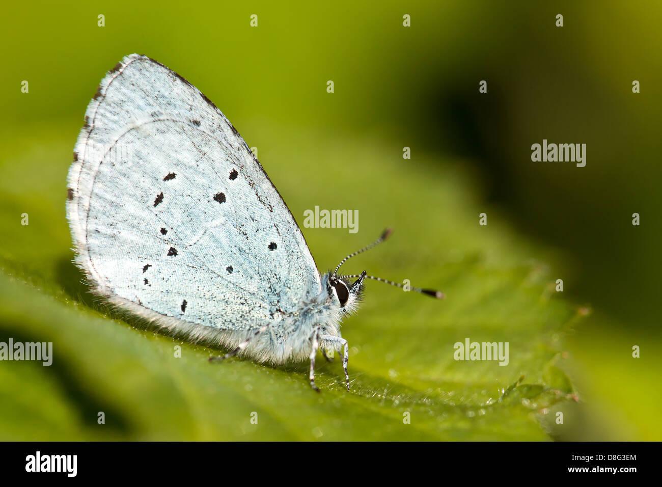 Holly Blue Butterfly (Celastrina Argiolus) appoggiato su una foglia di blackberry Immagini Stock