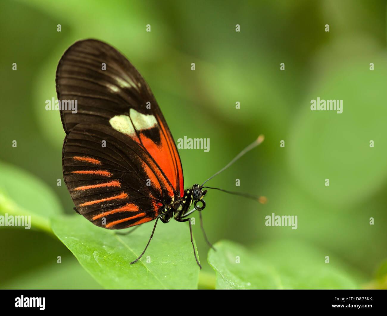 Tropical rosso, marrone e bianco butterfly poggiante su foglie verdi Immagini Stock