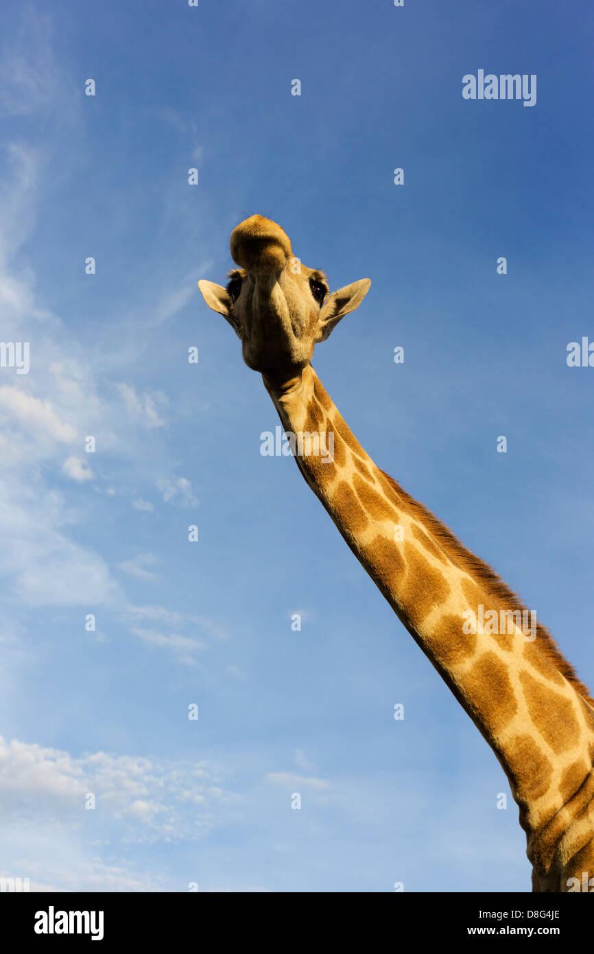 Vista dal basso di una giraffa meridionale (Giraffa camelopardalis giraffa).Sud Africa Immagini Stock