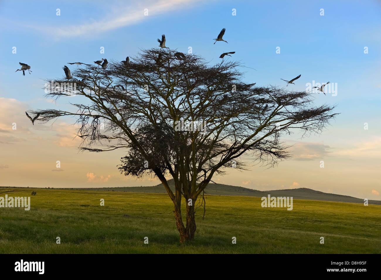 Acacia con bianca europea cicogne .Kenya Settentrionale Immagini Stock