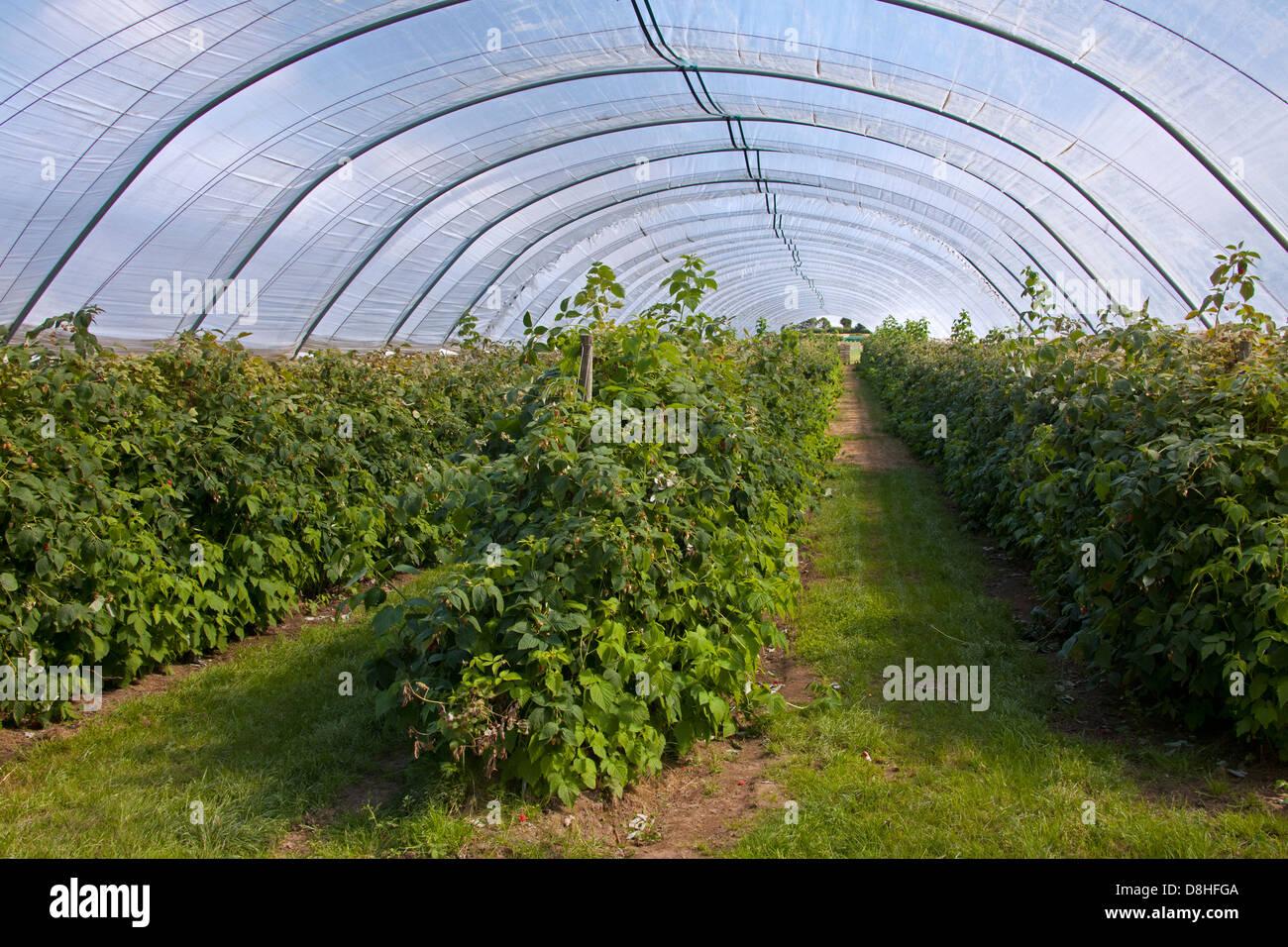 Come Coltivare I Lamponi coltivazione di lamponi rosso (rubus idaeus) nella serra di