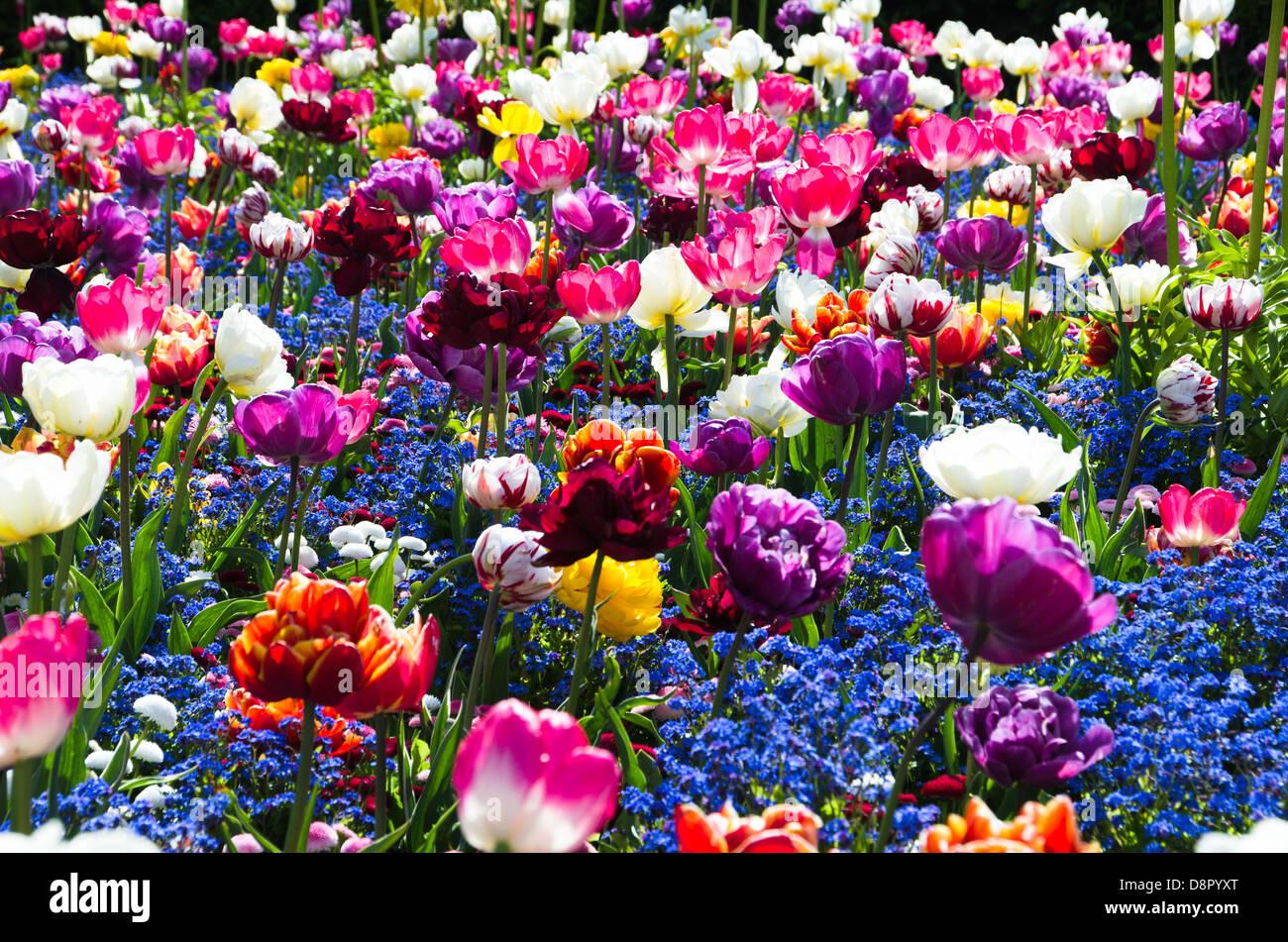 Un letto di tulipani colorati Foto Stock