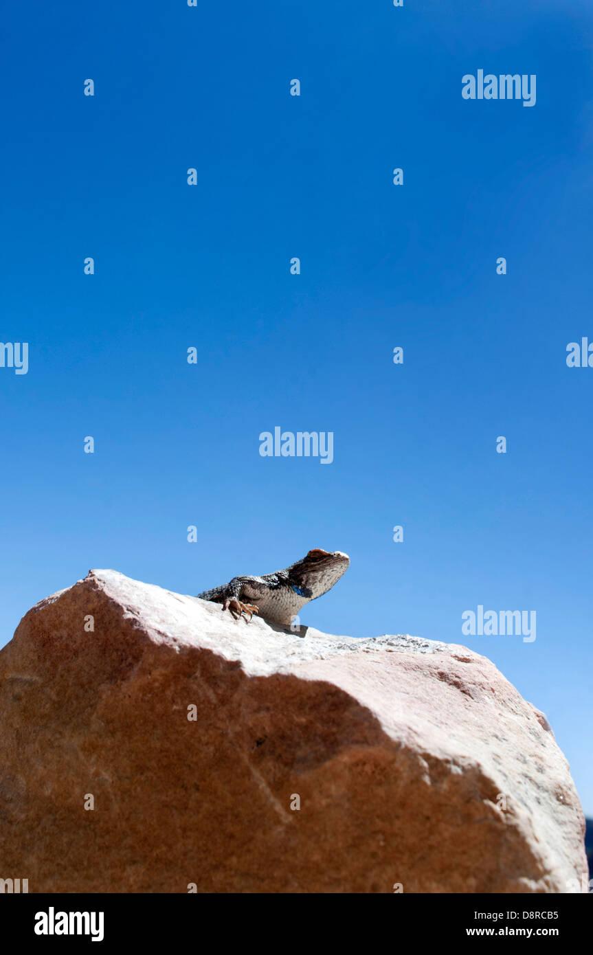 Un tipo sconosciuto di lucertola si crogiola al sole nel Grand Canyon in Arizona. Immagini Stock