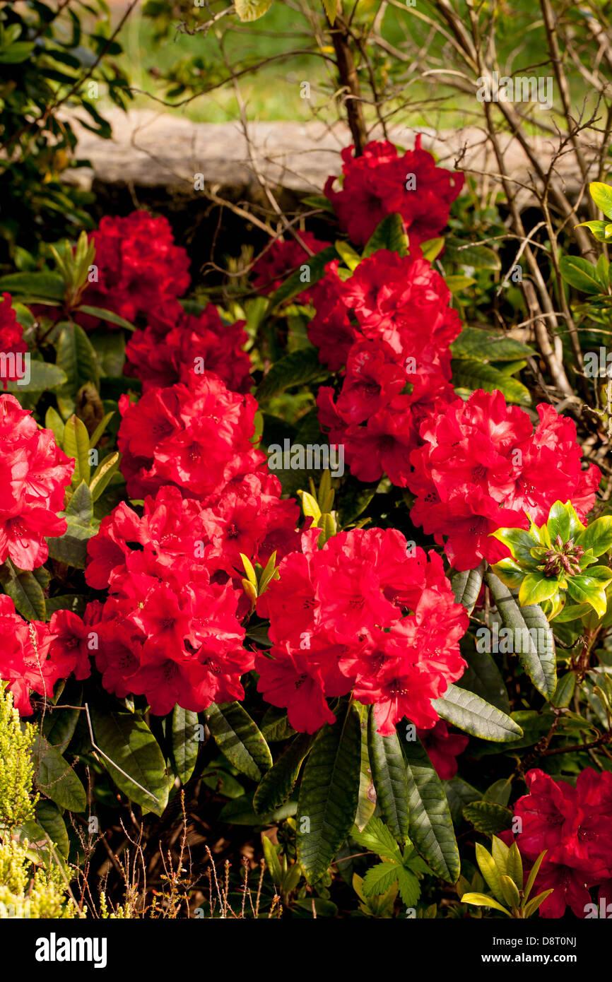 Bellissimo rododendro rosso fiori nel giardino di primavera Immagini Stock