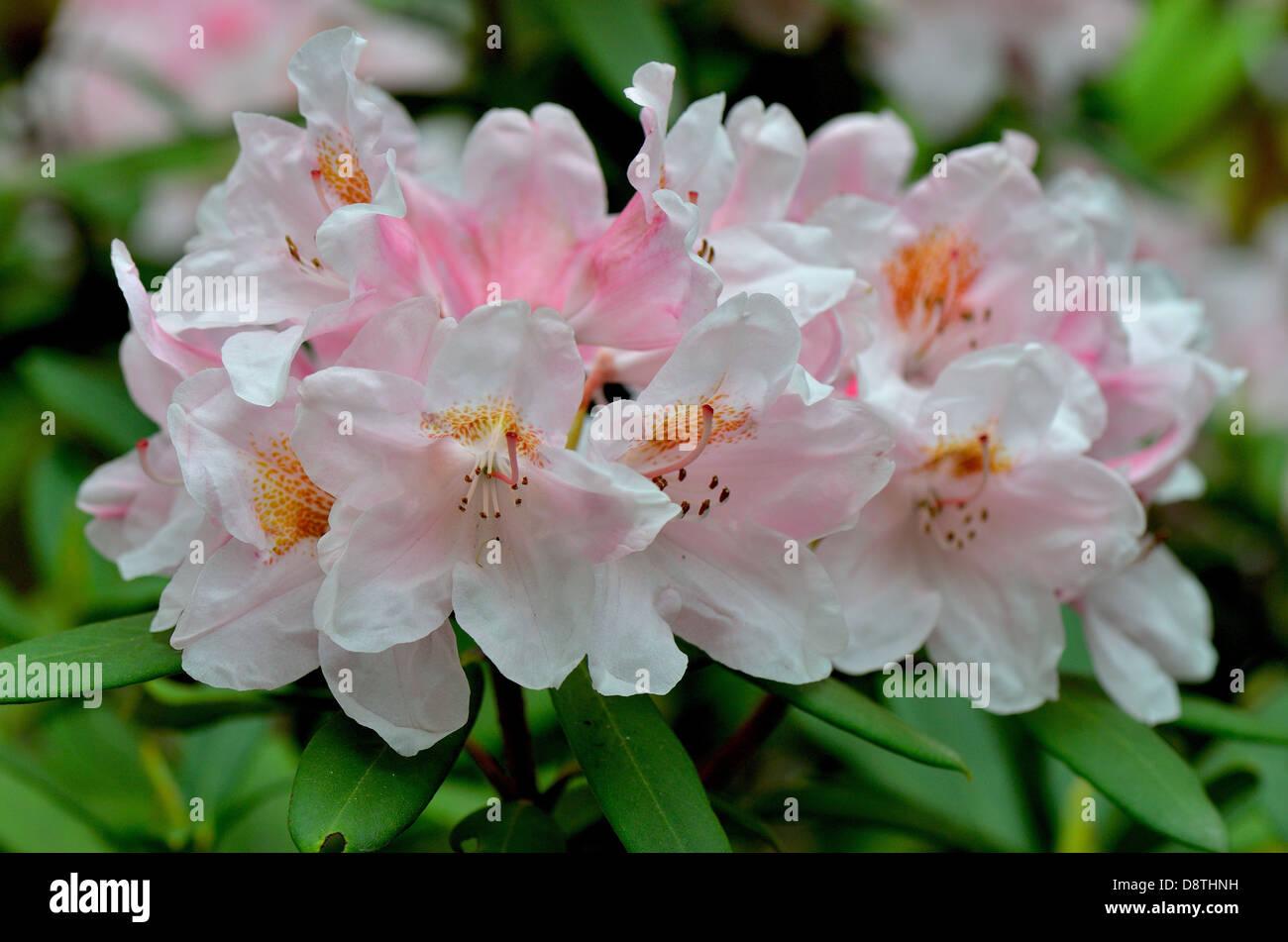 """Rosa """"rododendro schivo' fiori close up Immagini Stock"""