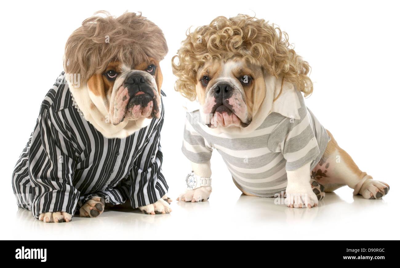 Cani umanizzati - due Bulldog inglese indossando parrucche e vestiti in  abiti isolati su sfondo bianco 9a7b8fa42c67