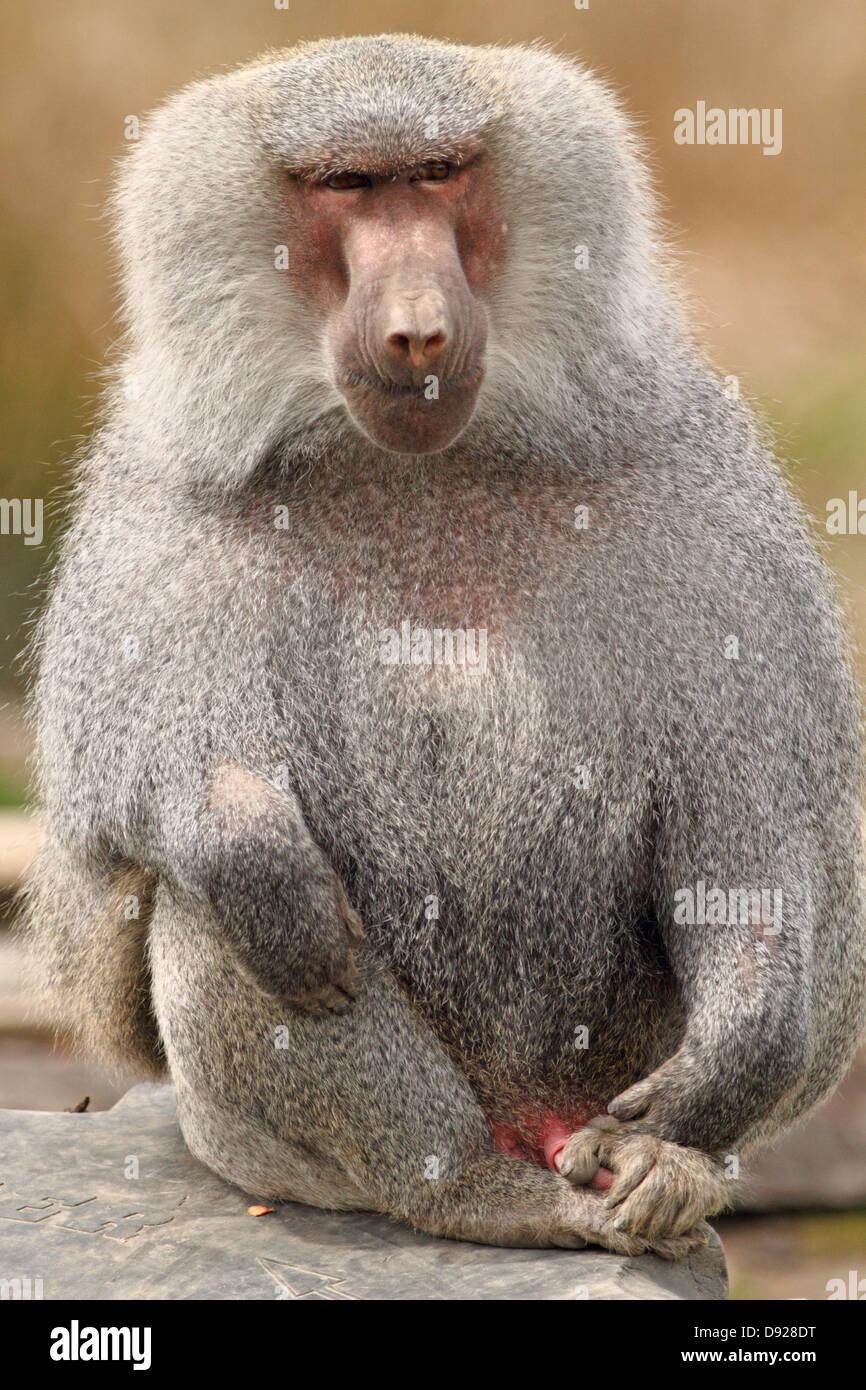 Scimmia distesa