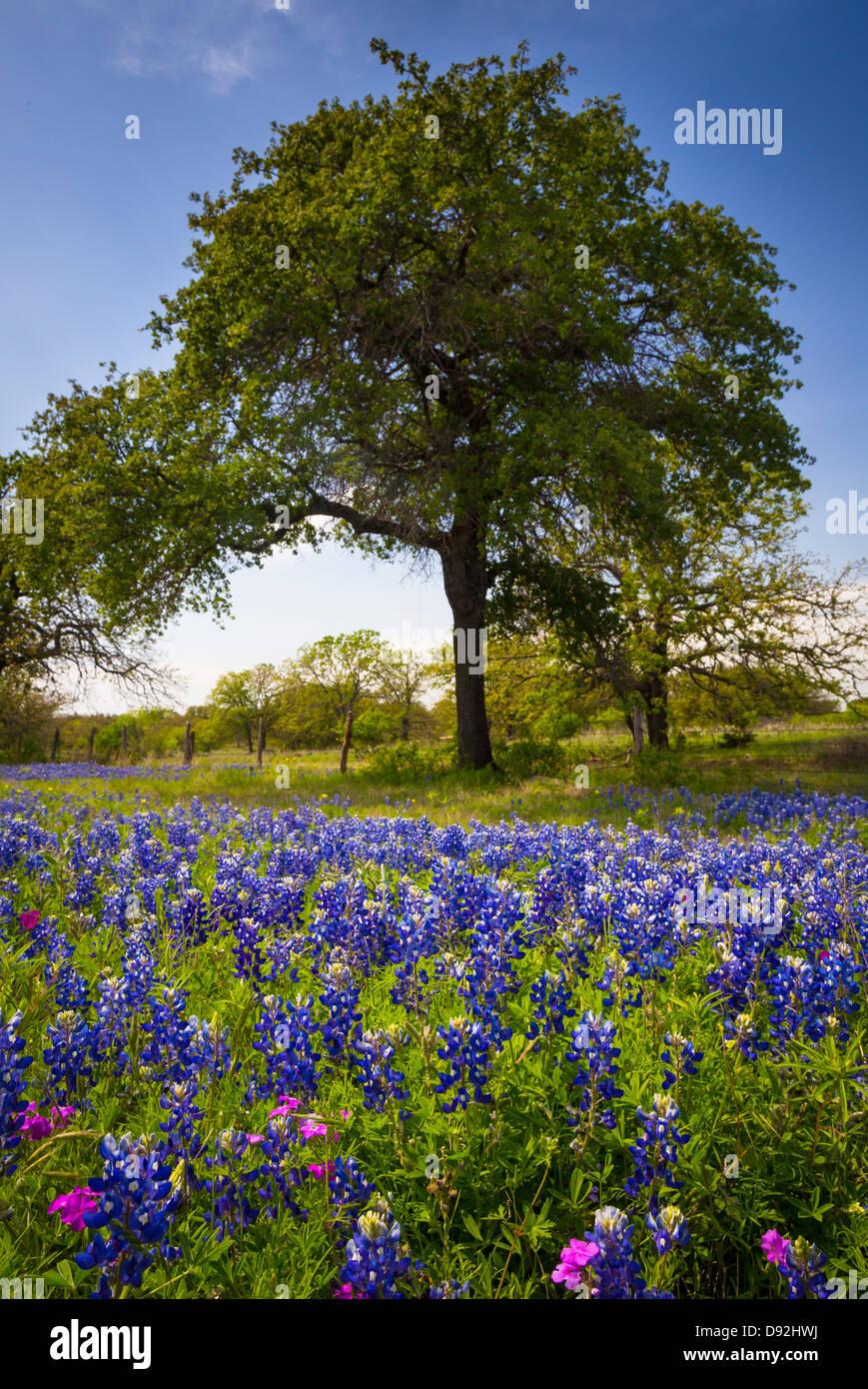 Bluebonnets e gli alberi nei pressi di Kingsland in Texas Hill Country Immagini Stock