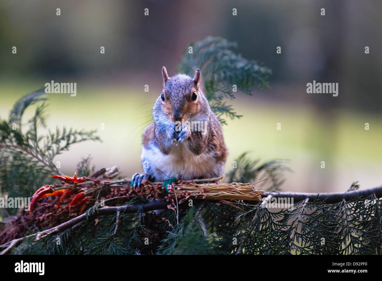 Un albero scoiattolo è mangiare i dadi su un ramo di albero Immagini Stock