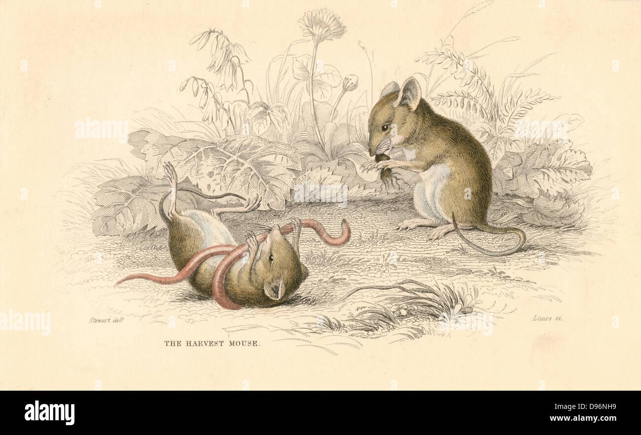 Harvest Mouse (Micromys minutus) del vecchio mondo. [1828]. Da 6 a 7 1/2 cm è uno dei più piccoli roditori. Immagini Stock