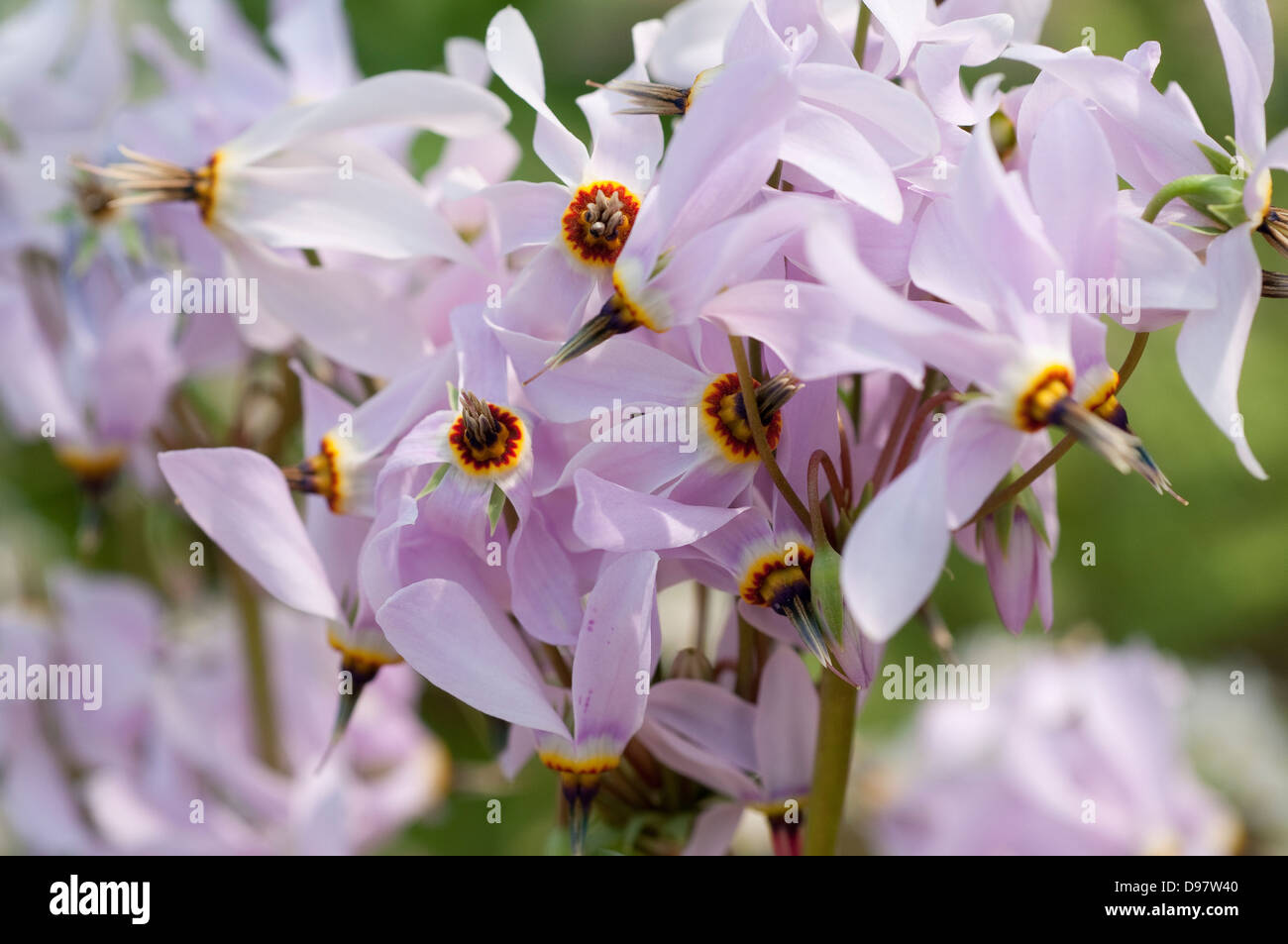 Jeweled Shooting Star, Dodecatheon radicatum Immagini Stock