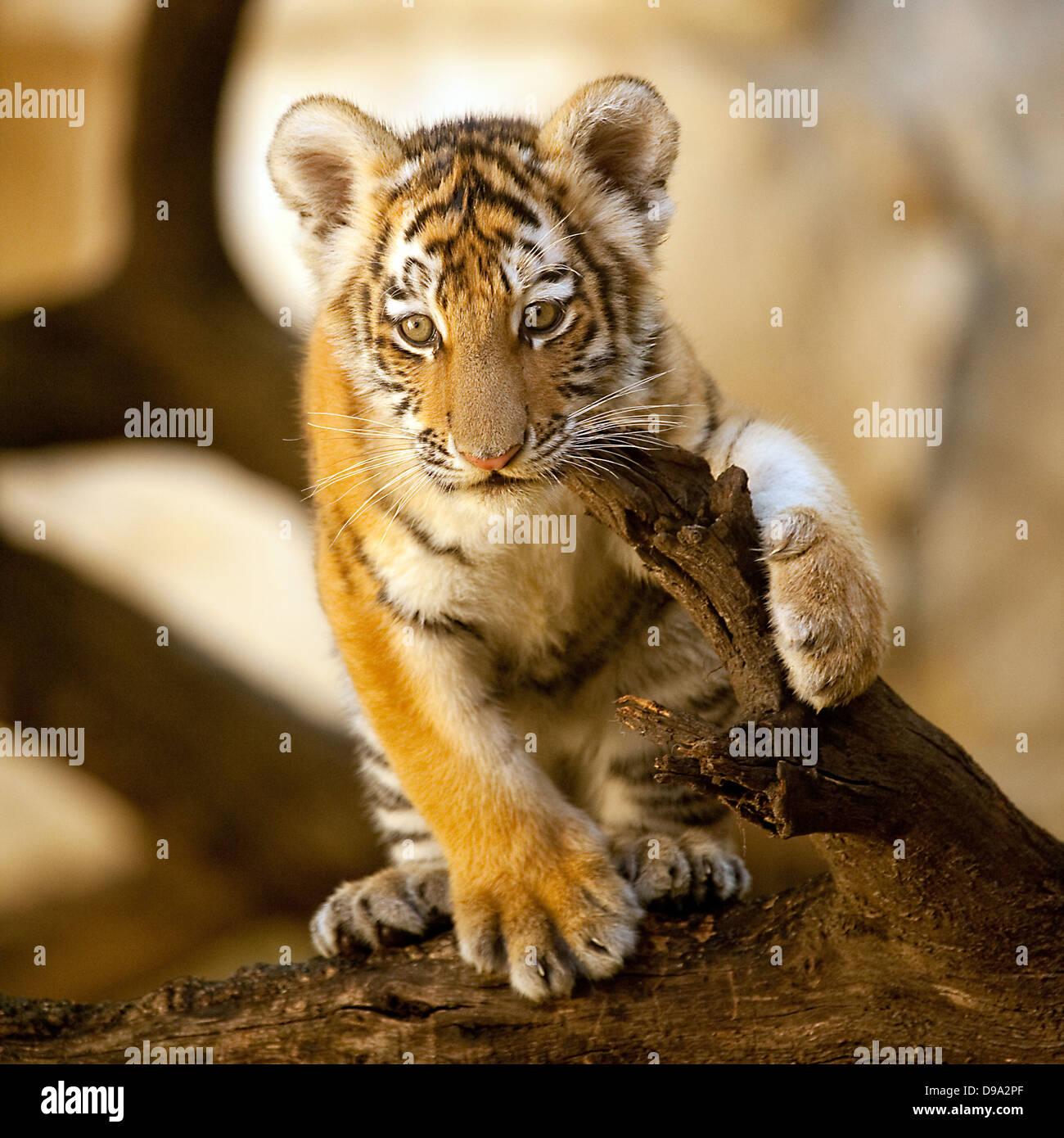 Cucciolo di tigre Immagini Stock