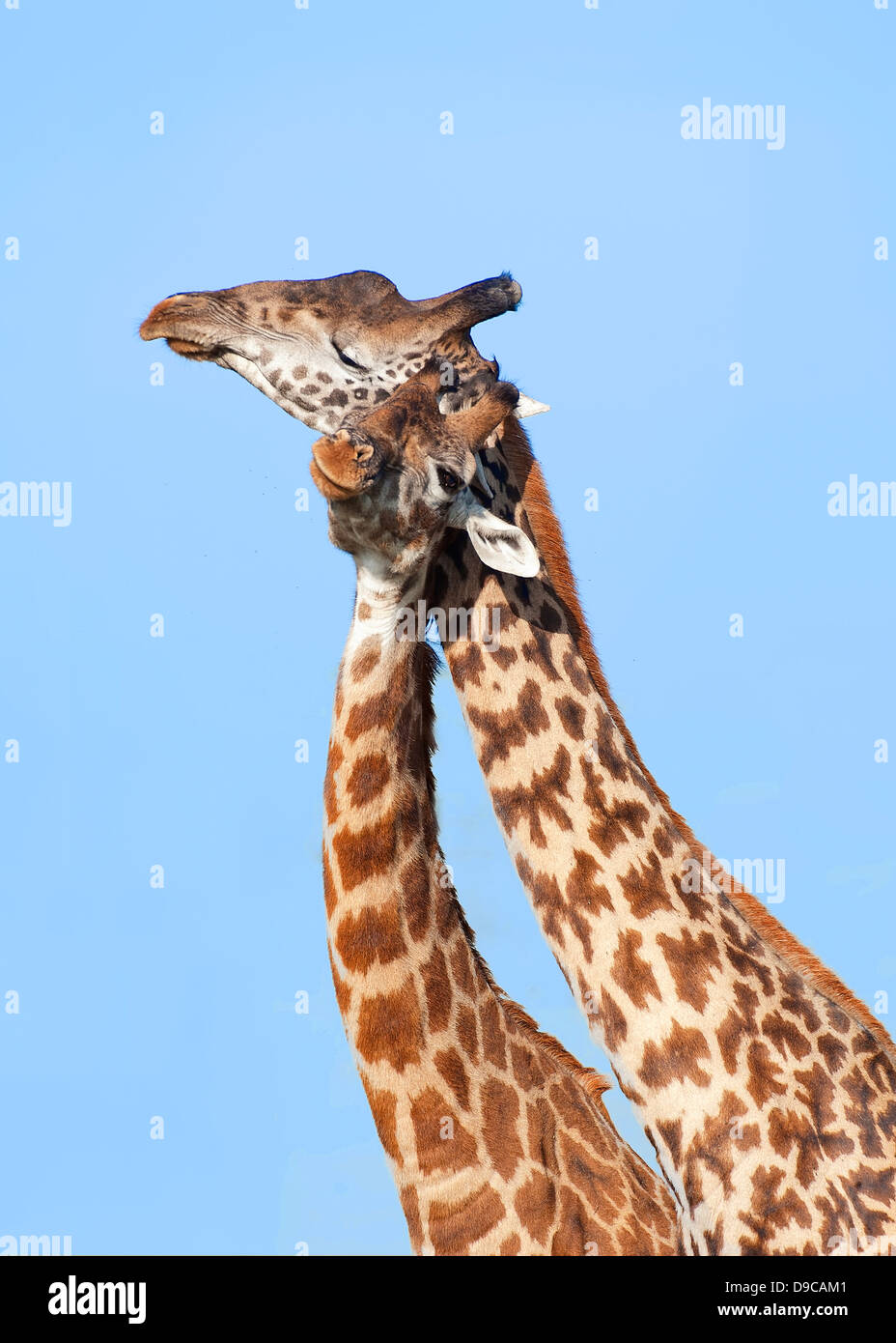 La giraffa close-up verticale, Serengeti, Tanzania Immagini Stock