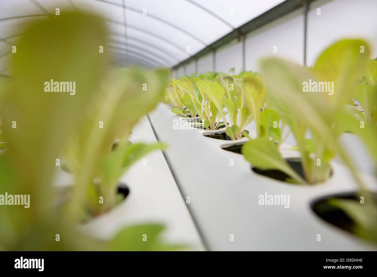 Foglie di lattuga in crescita in vivaio Immagini Stock