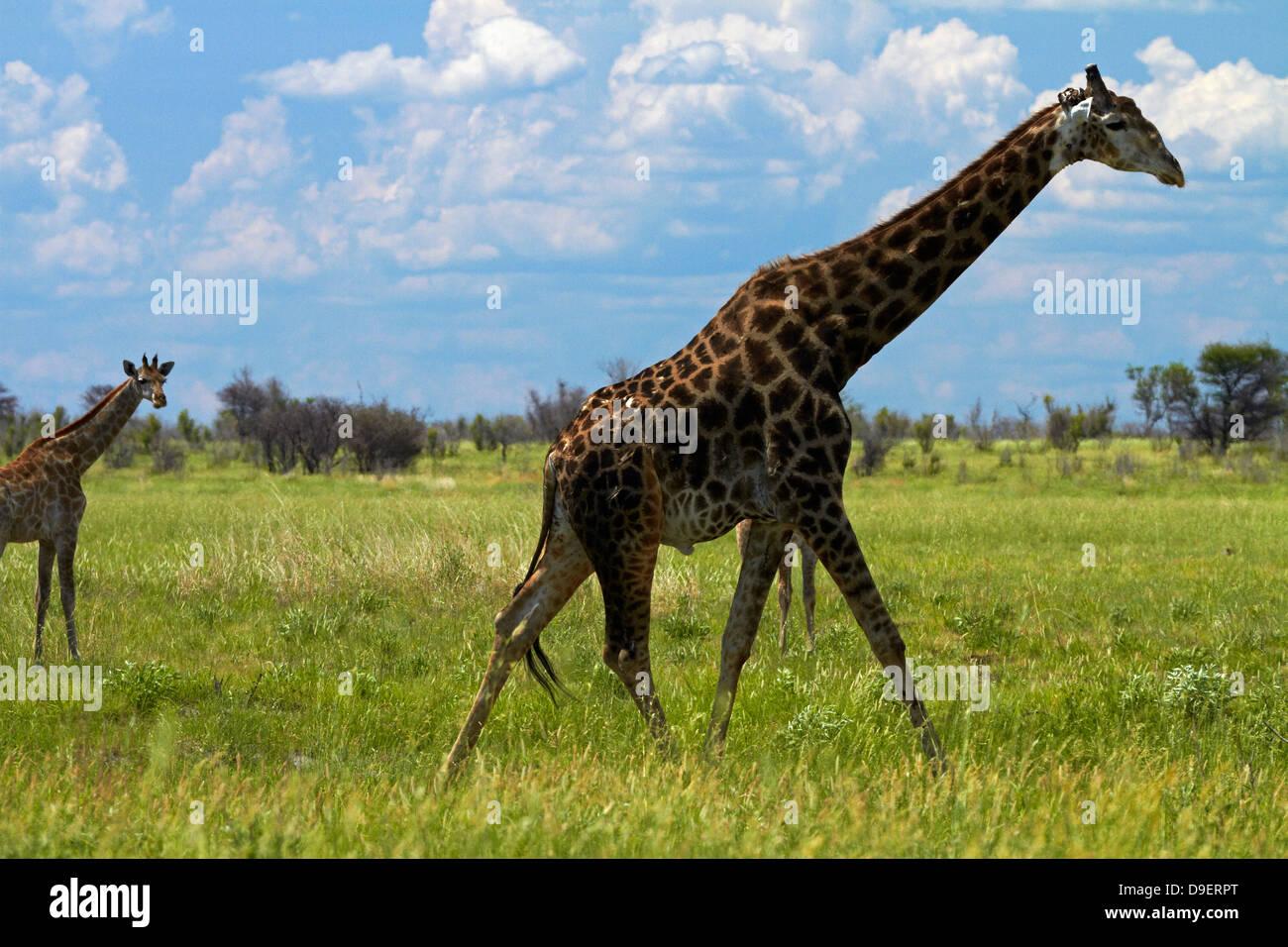 Giraffe (Giraffa camelopardalis angolensis), Nxai Pan National Park, Botswana, Africa Immagini Stock