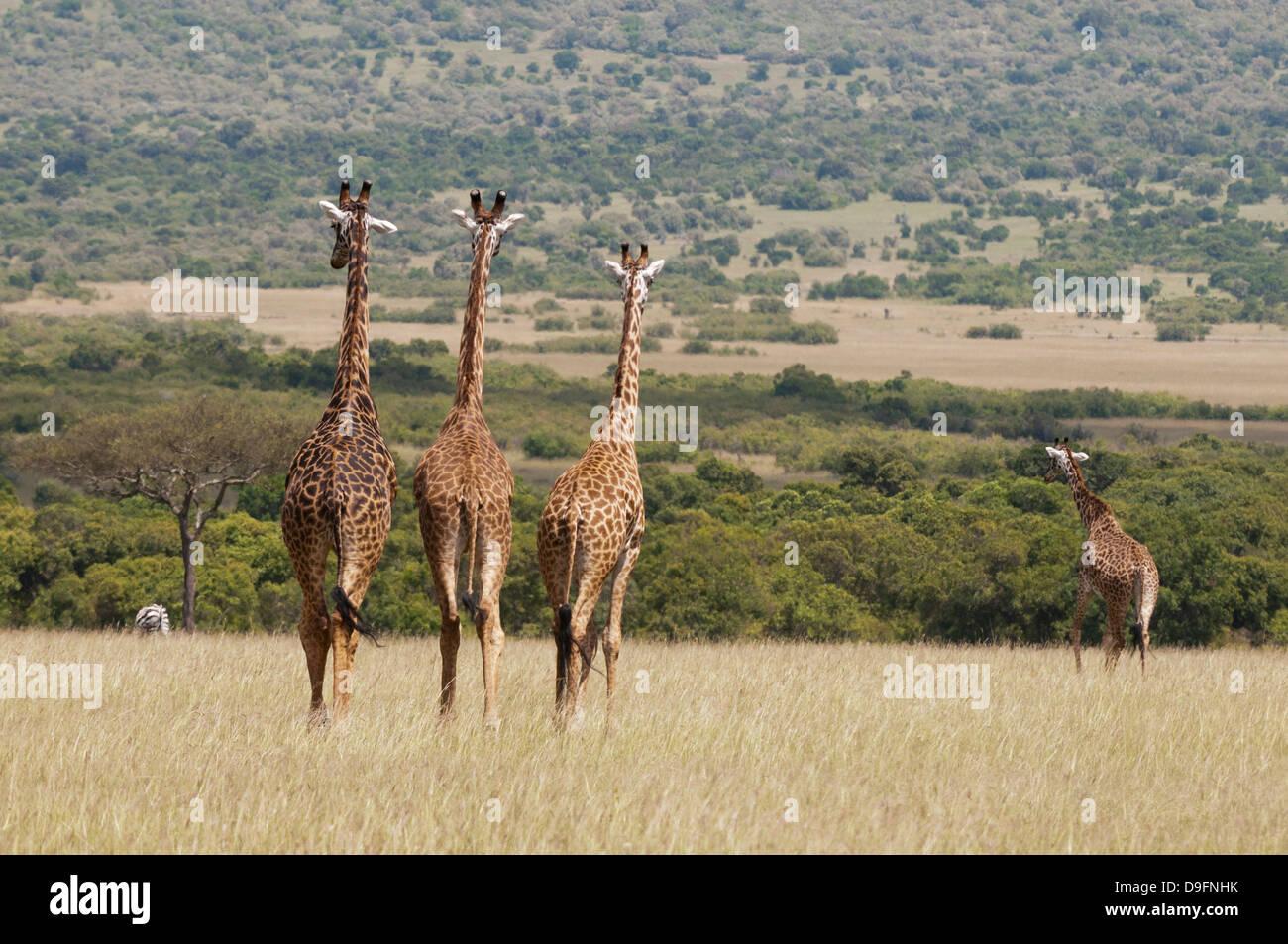 Masai giraffe (Giraffa camelopardalis), il Masai Mara riserva nazionale, Kenya, Africa orientale, Africa Immagini Stock