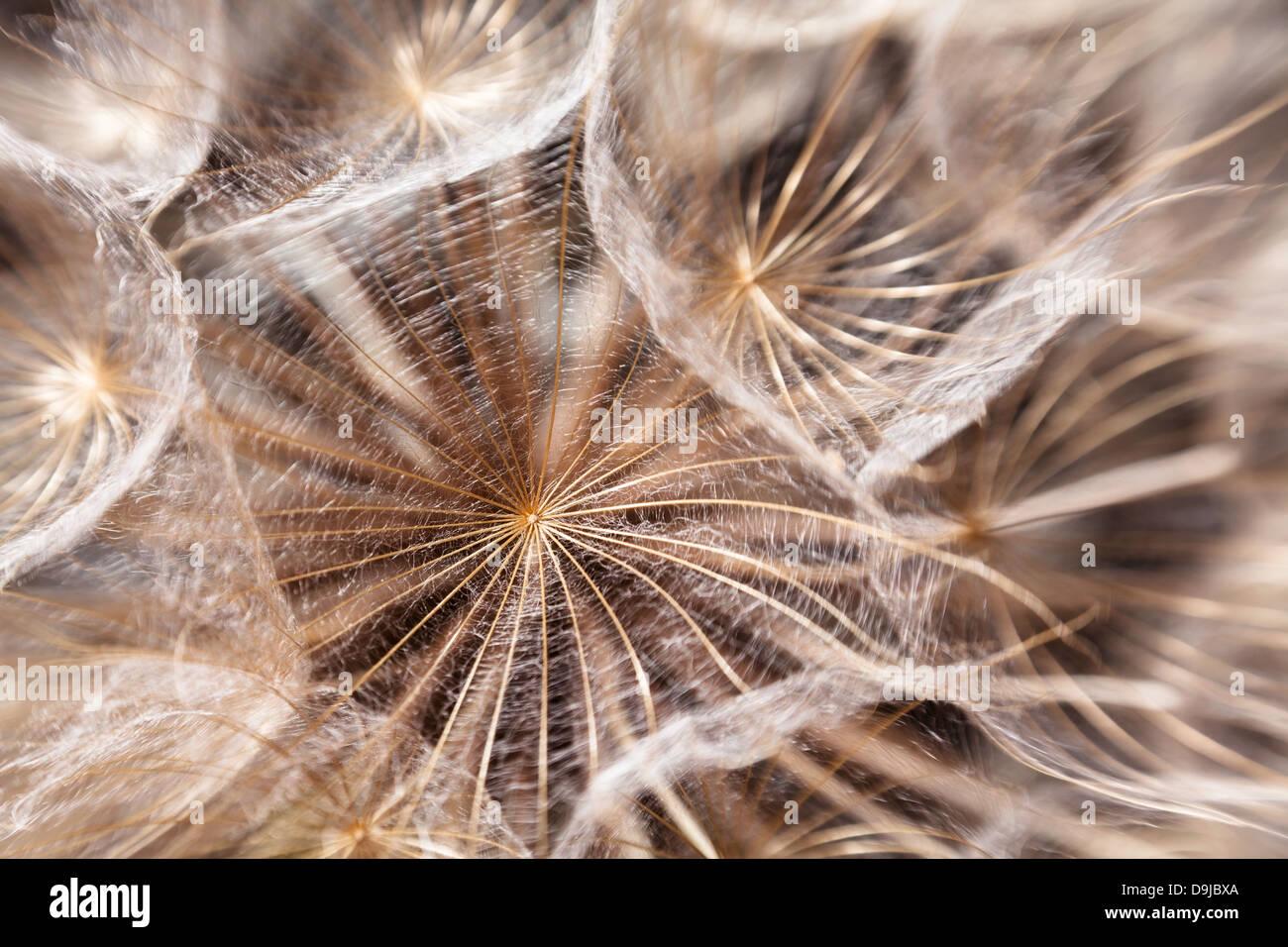 Semi di tarassaco macro closeup soffici Immagini Stock