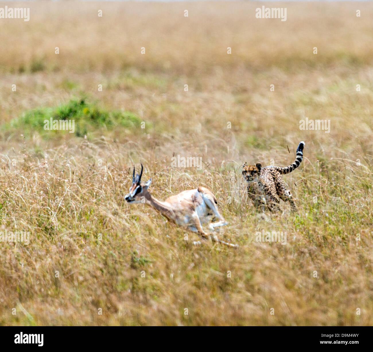 Ghepardo (Acinonyx jubatus) a caccia di Thomson gazelle (Eudorcas thomsonii) Kicheche Safari Masai Mara Africa Immagini Stock