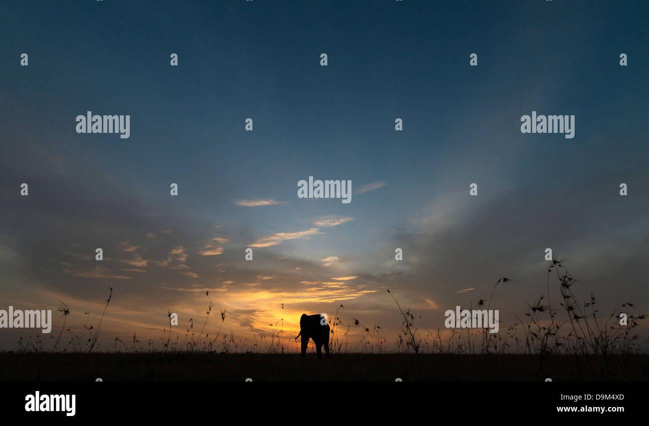 Grande adulti bull elefante a sunrise Kenya Africa Immagini Stock