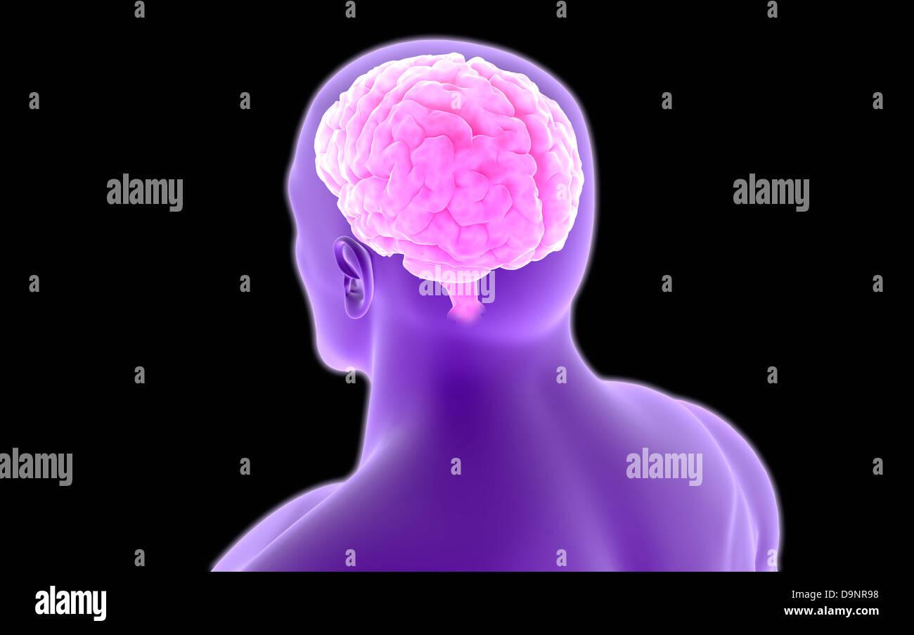 Posterior lobe immagini & posterior lobe fotos stock alamy