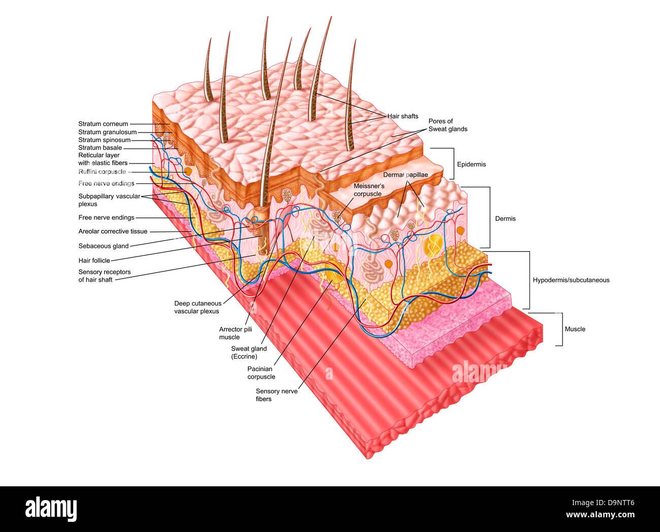 Anatomia della pelle umana. Immagini Stock