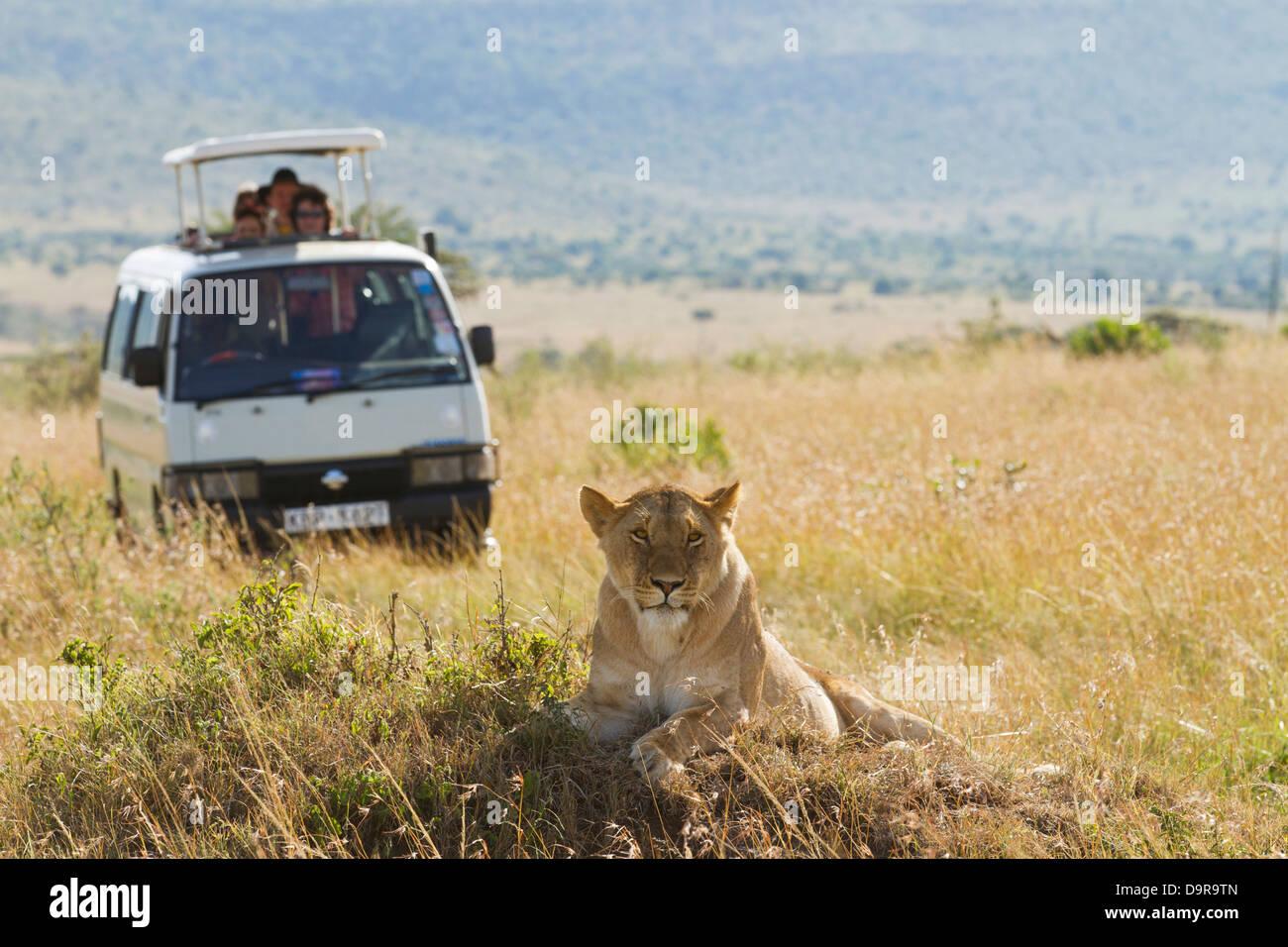 Africa wildlife safari turisti osservando la femmina leone selvatico nella savana in una giornata di sole in Masai Immagini Stock