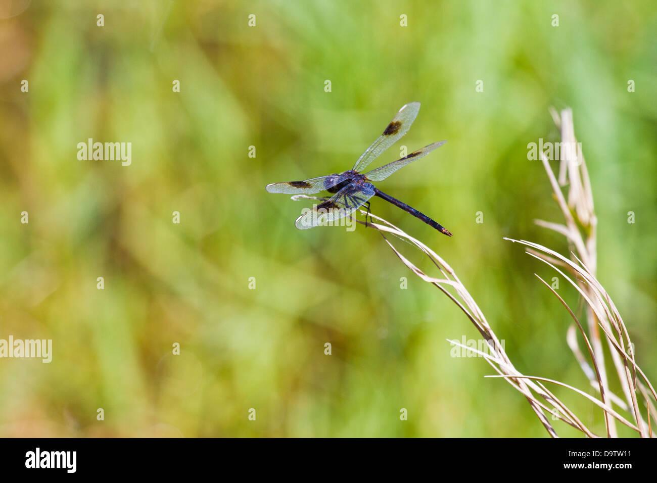 Dragonfly pronti per il Decollo Immagini Stock