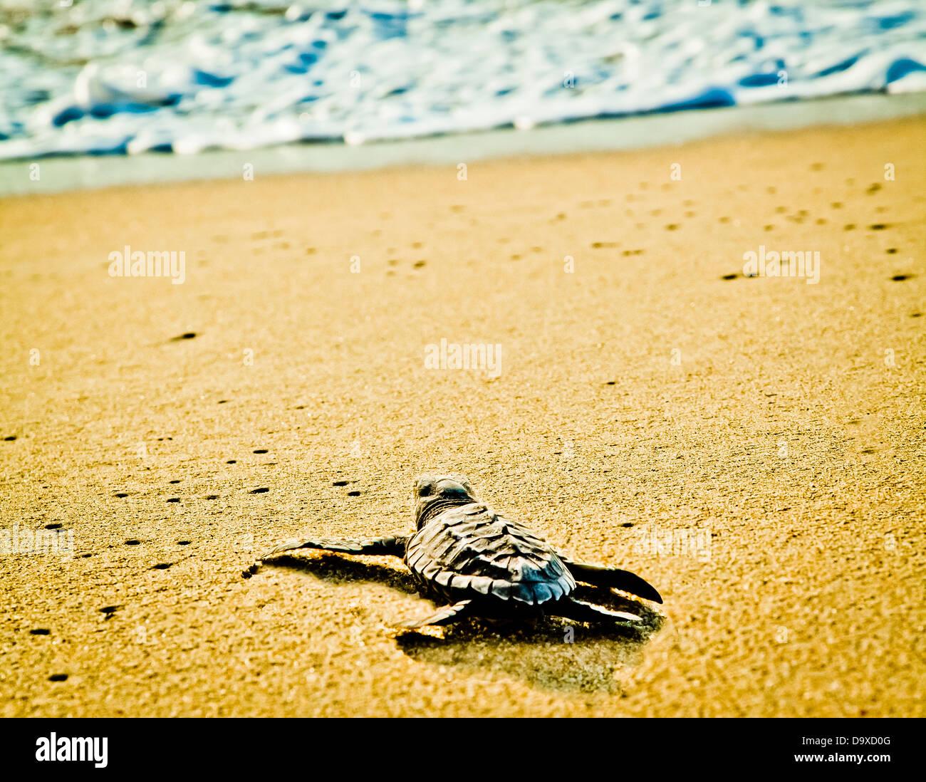 Di recente le tartarughe tratteggiata sulla spiaggia Immagini Stock