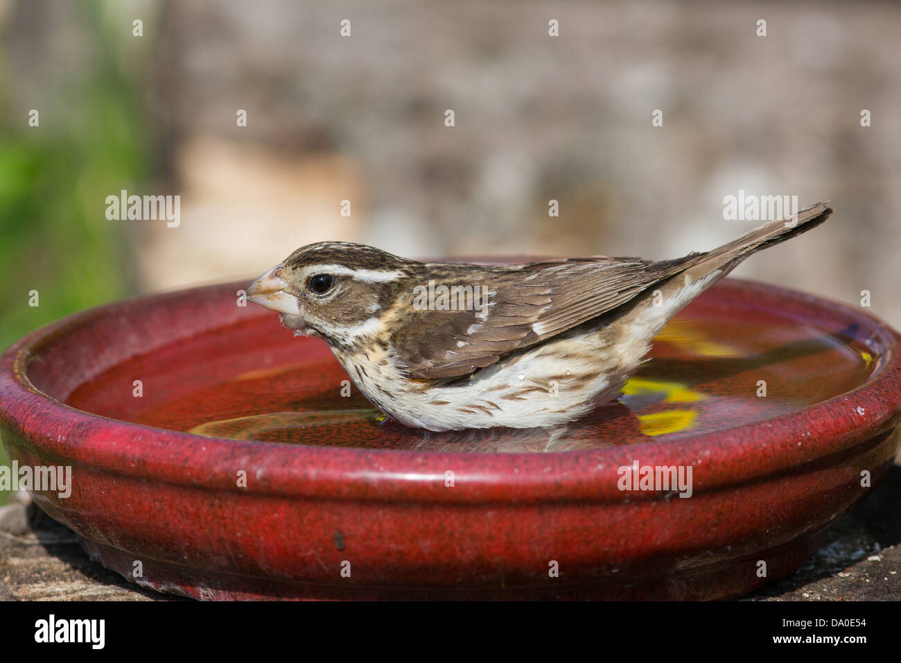 Vasca Da Bagno Rosa : Rosa femmina breasted grosbeak balneazione in un uccello rosso