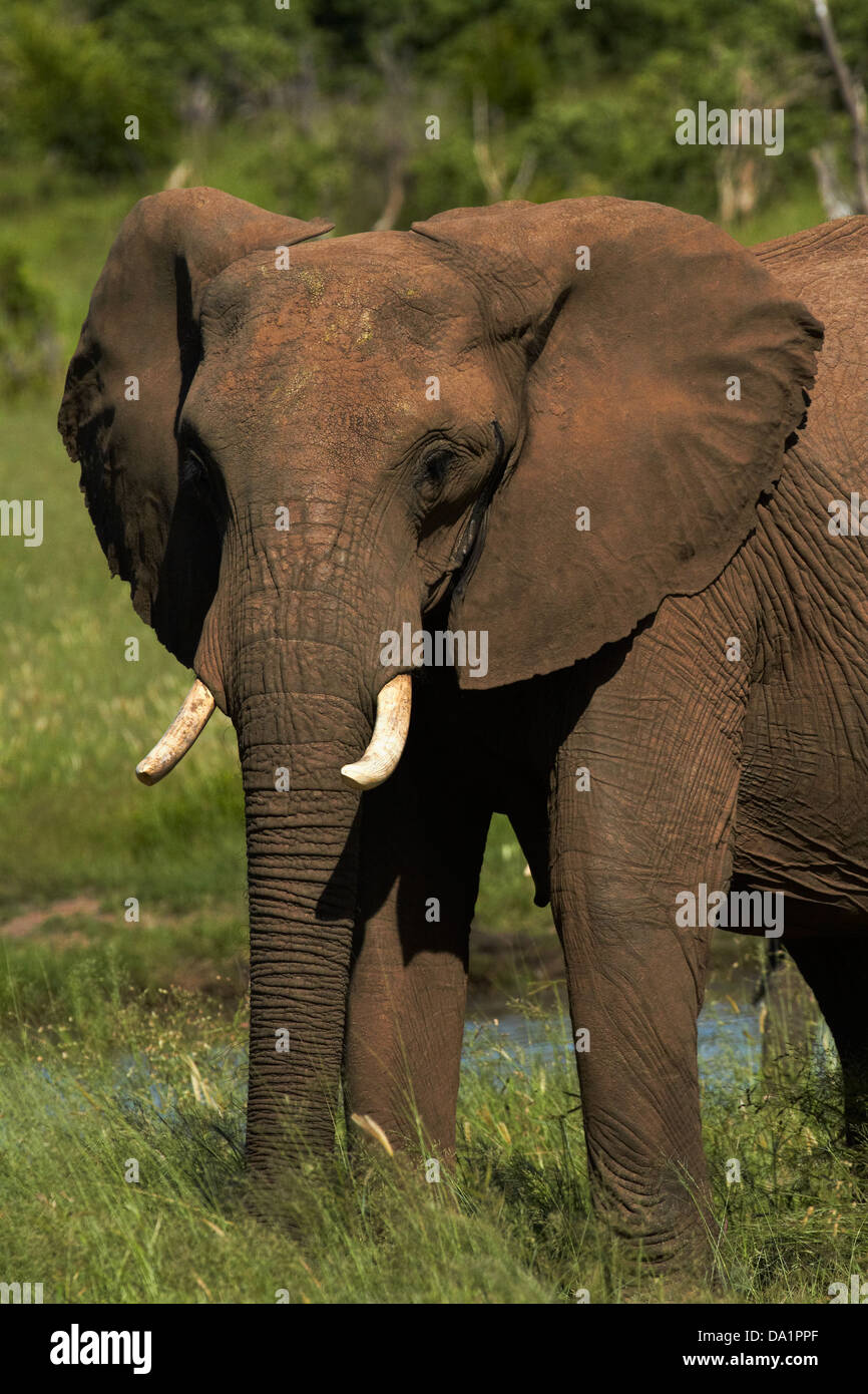 Elefante africano (Loxodonta africana), il Parco Nazionale di Hwange, Zimbabwe, Sud Africa Immagini Stock