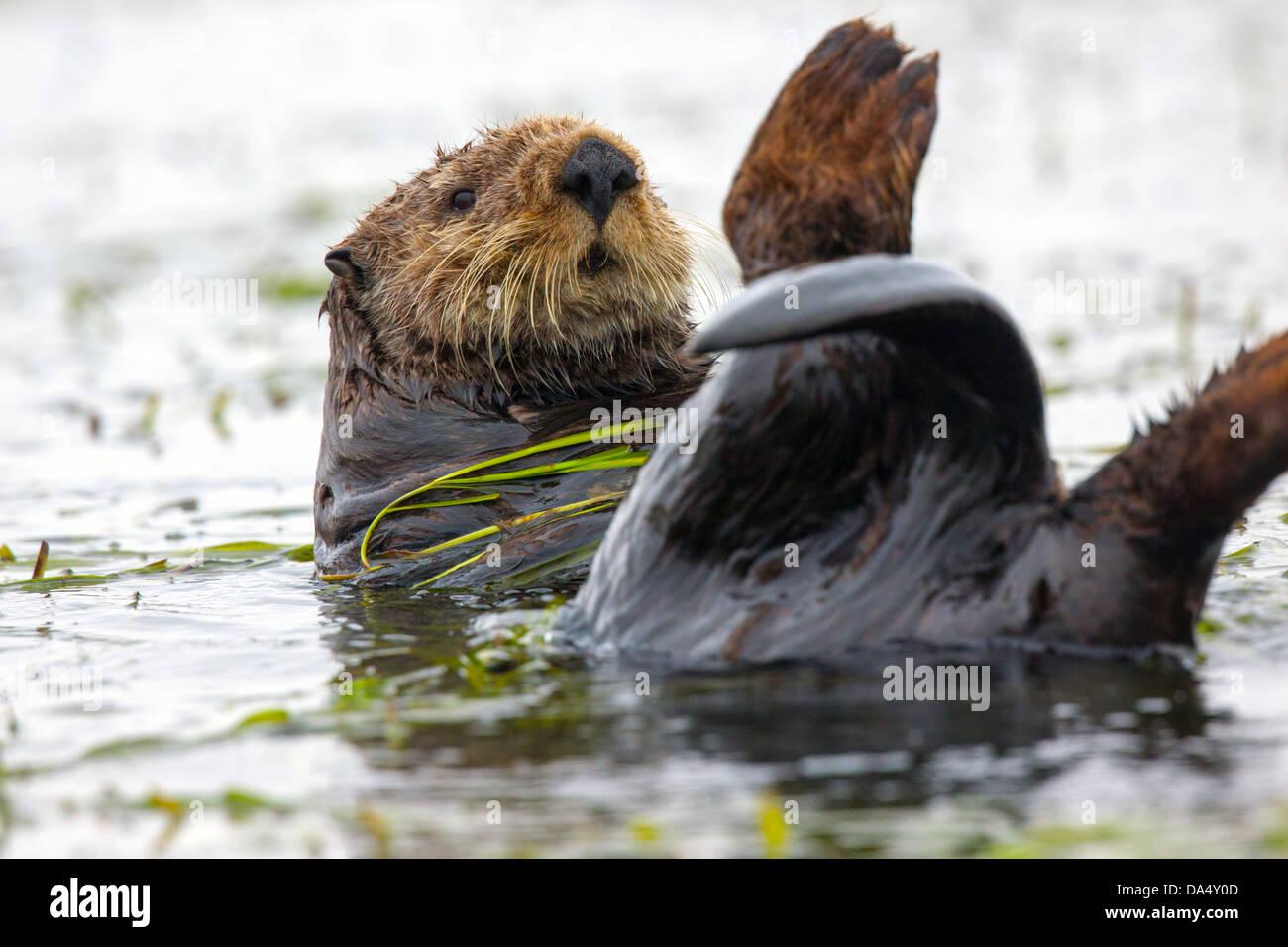 Sea Otter Enhydra lutris Moss Landing, California, Stati Uniti 24 giugno adulto avvolto in erba di anguilla. Mustelidae Immagini Stock
