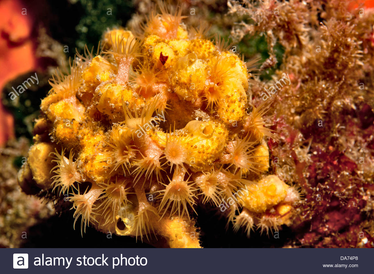 Axinella polypoides immagini axinella polypoides fotos stock alamy le margherite di mare su axinella polypoides spugna immagini stock altavistaventures Image collections