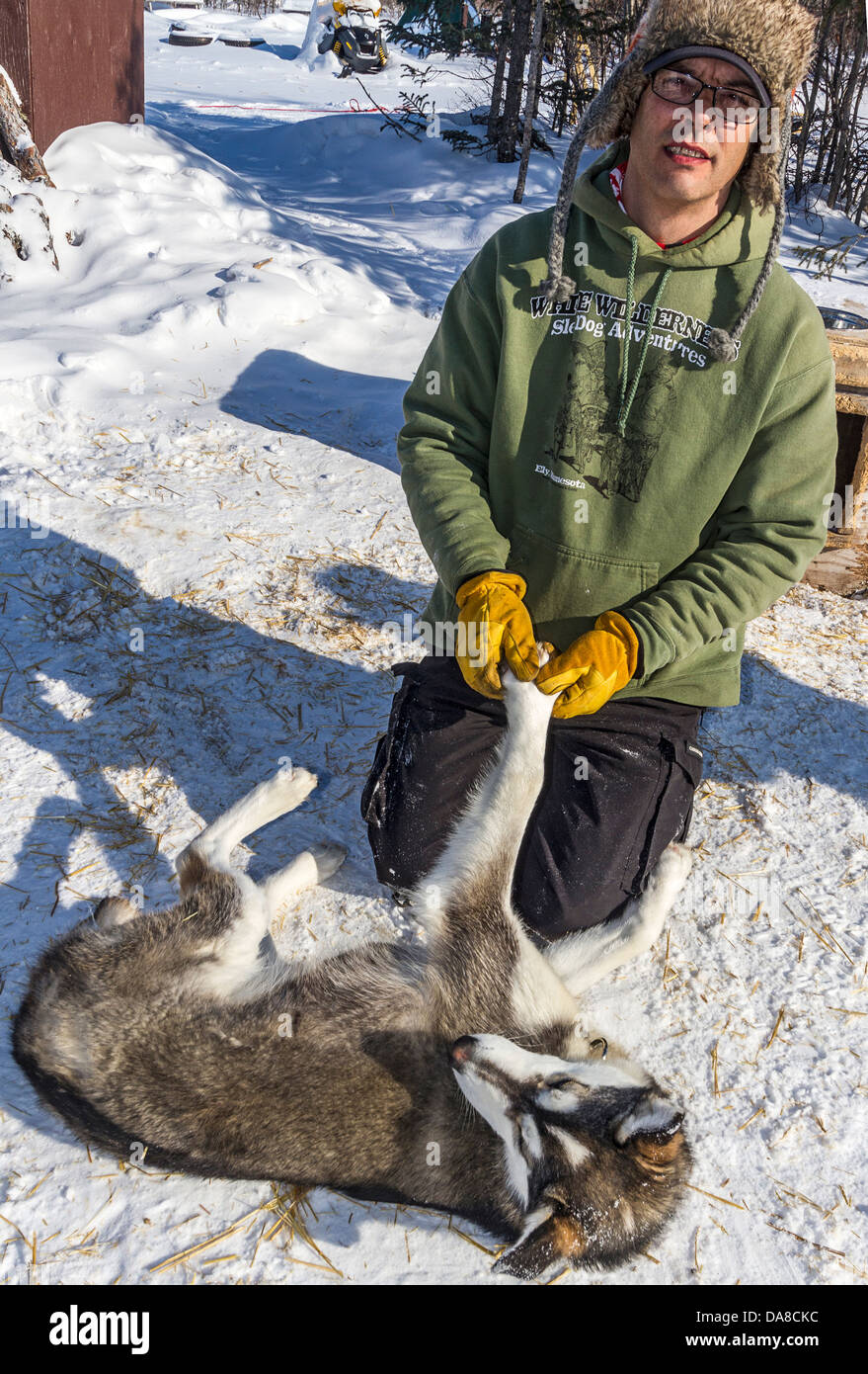 Il proprietario e il cane racer David Daley dimostra come egli si estende i suoi cani prima di correre a Wapusk Immagini Stock