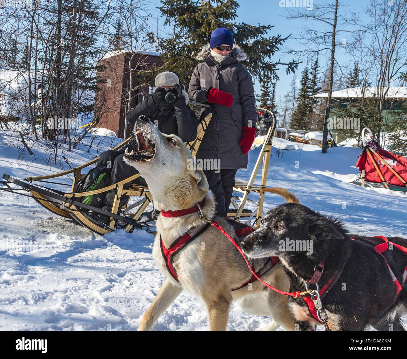 Un team di cani ululati in previsione di una buona esecuzione a Wapusk avventure lo sleddog il funzionamento. Immagini Stock