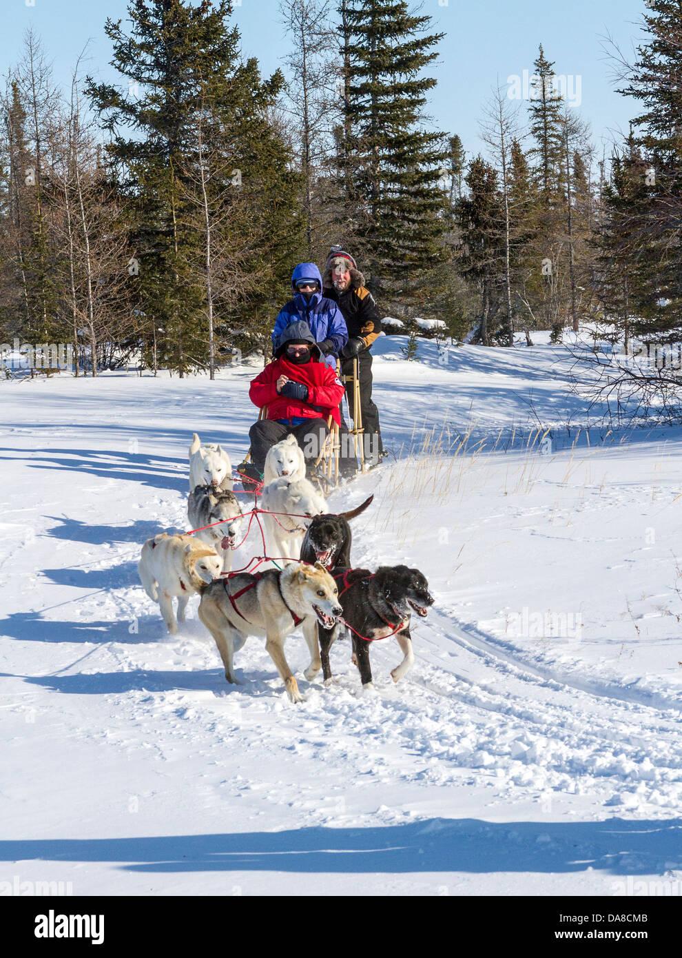 Il turista a godere la corsa in slitta trainata da cani a Wapusk avventure lo sleddog cantiere. Immagini Stock