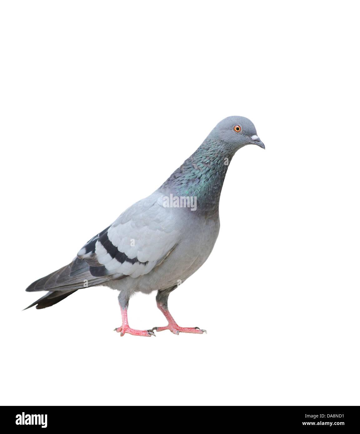 Un piccione contro uno sfondo bianco Immagini Stock